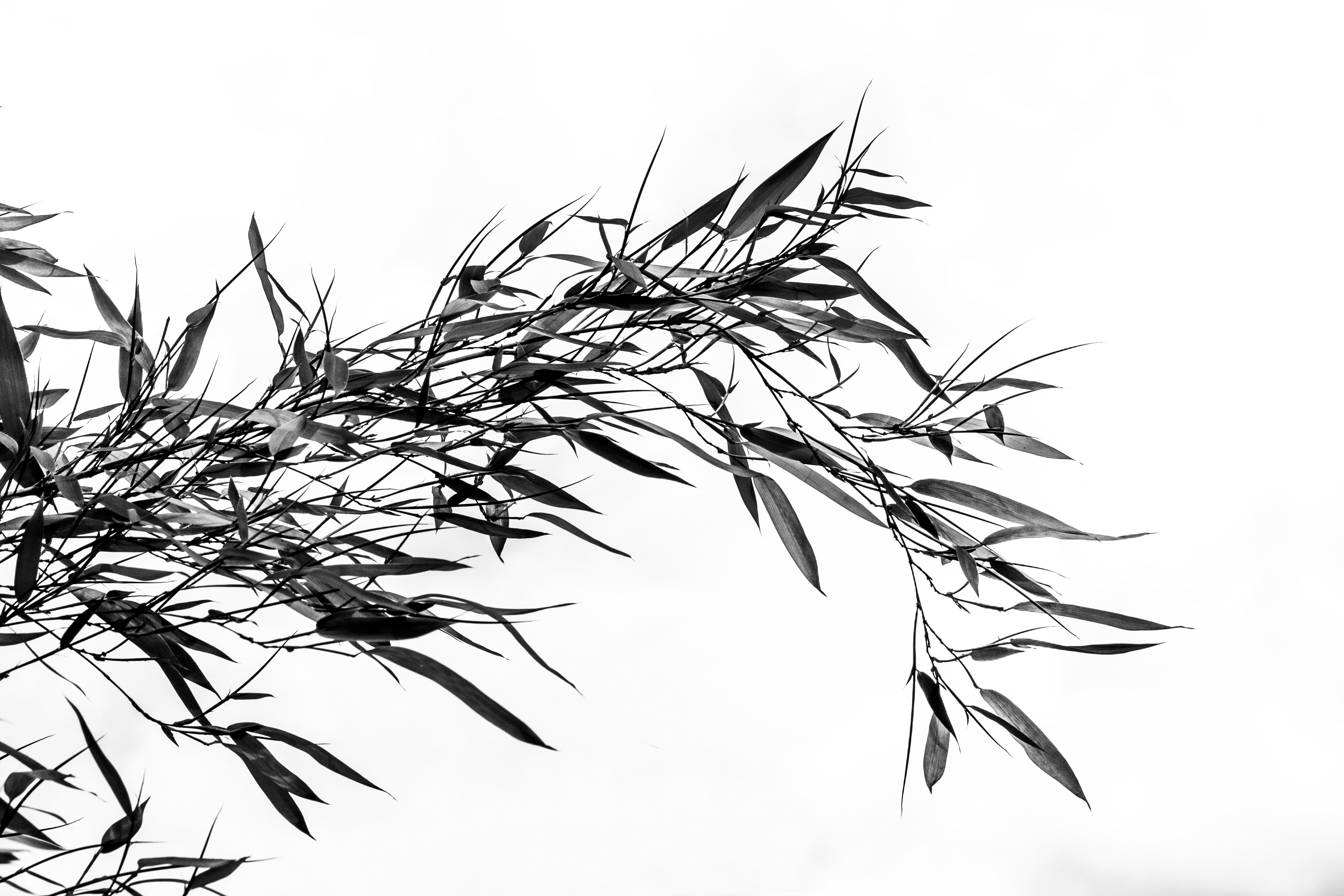 Bildet Tre Gren Svart Og Hvit Anlegg Linje Botanikk Kvist