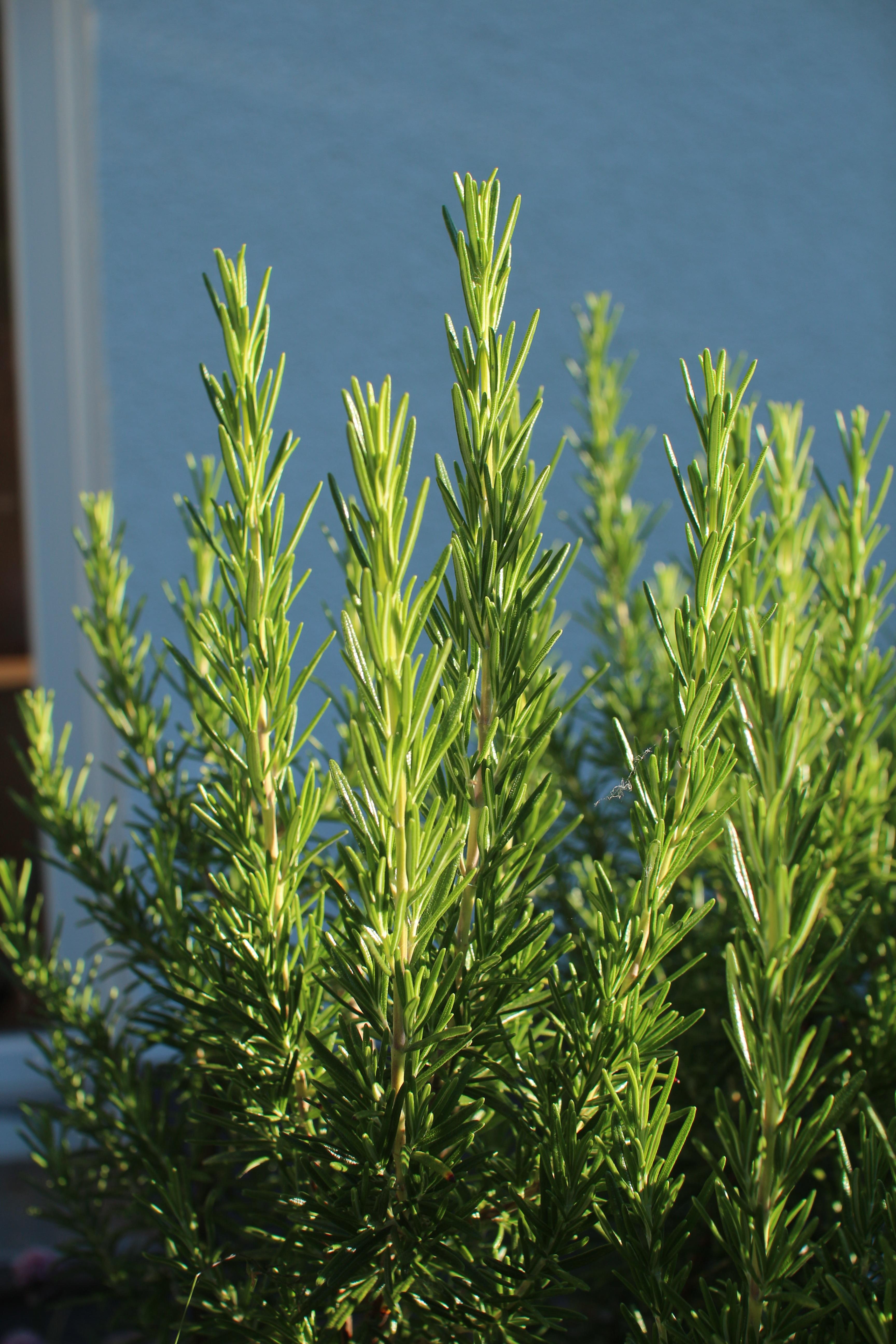 Fotos gratis rbol c sped rama planta flor comida for Arboles de hoja perenne para jardin