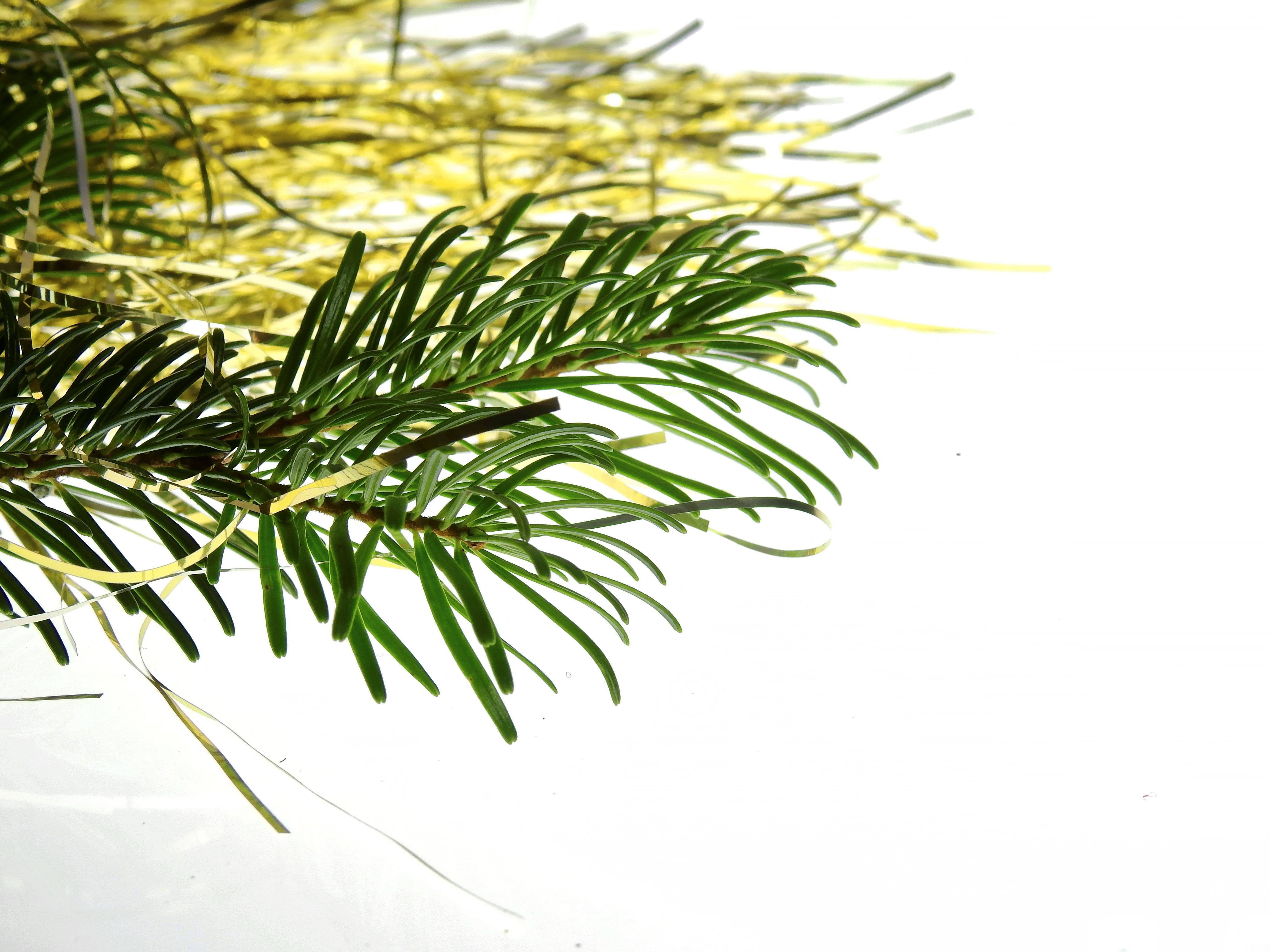 Weihnachtsbaum Ast.Kostenlose Foto Baum Gras Ast Blatt Blume Dekoration