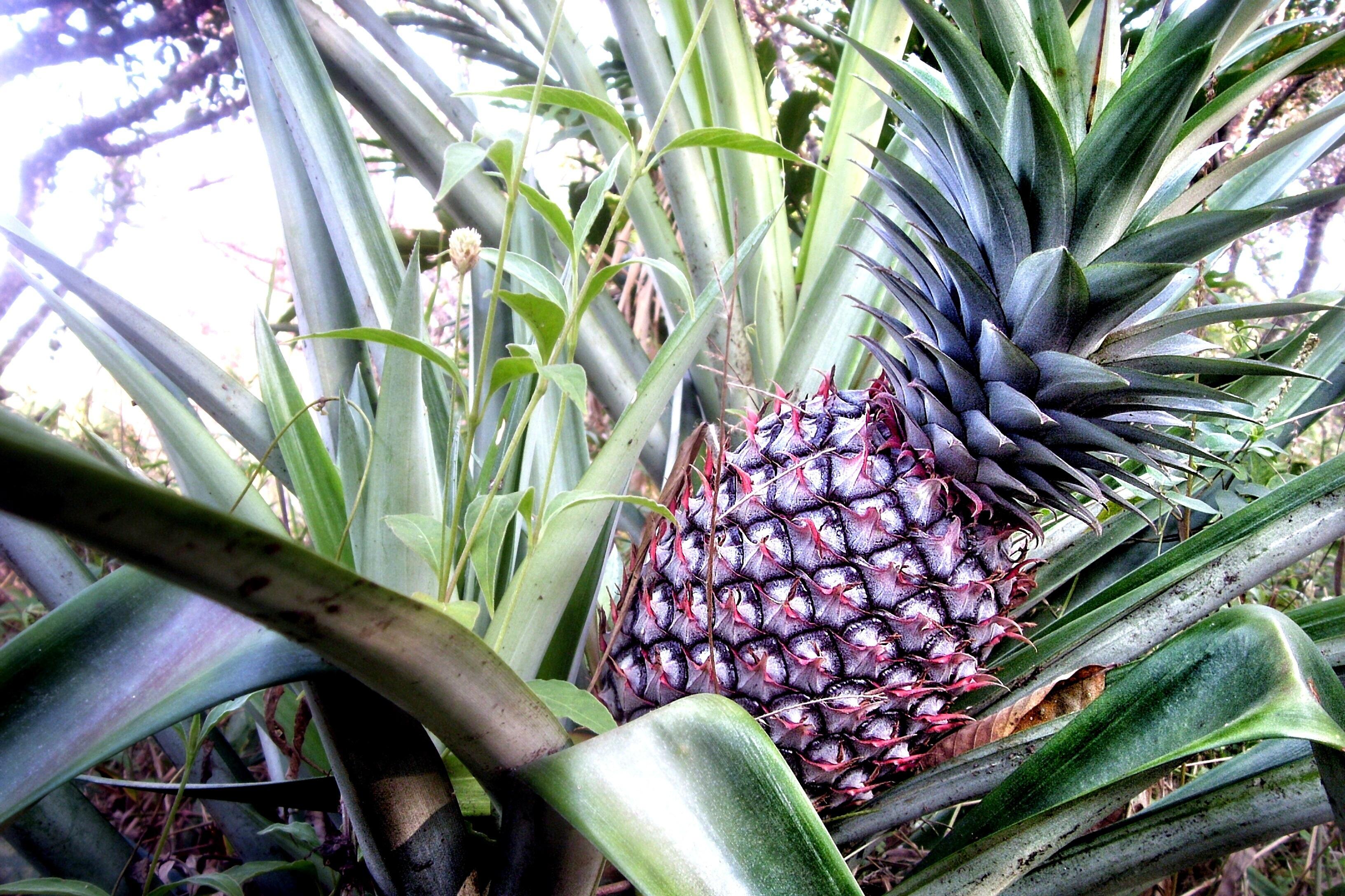Images gratuites arbre herbe fruit doux palmier - Ananas plante d interieur ...