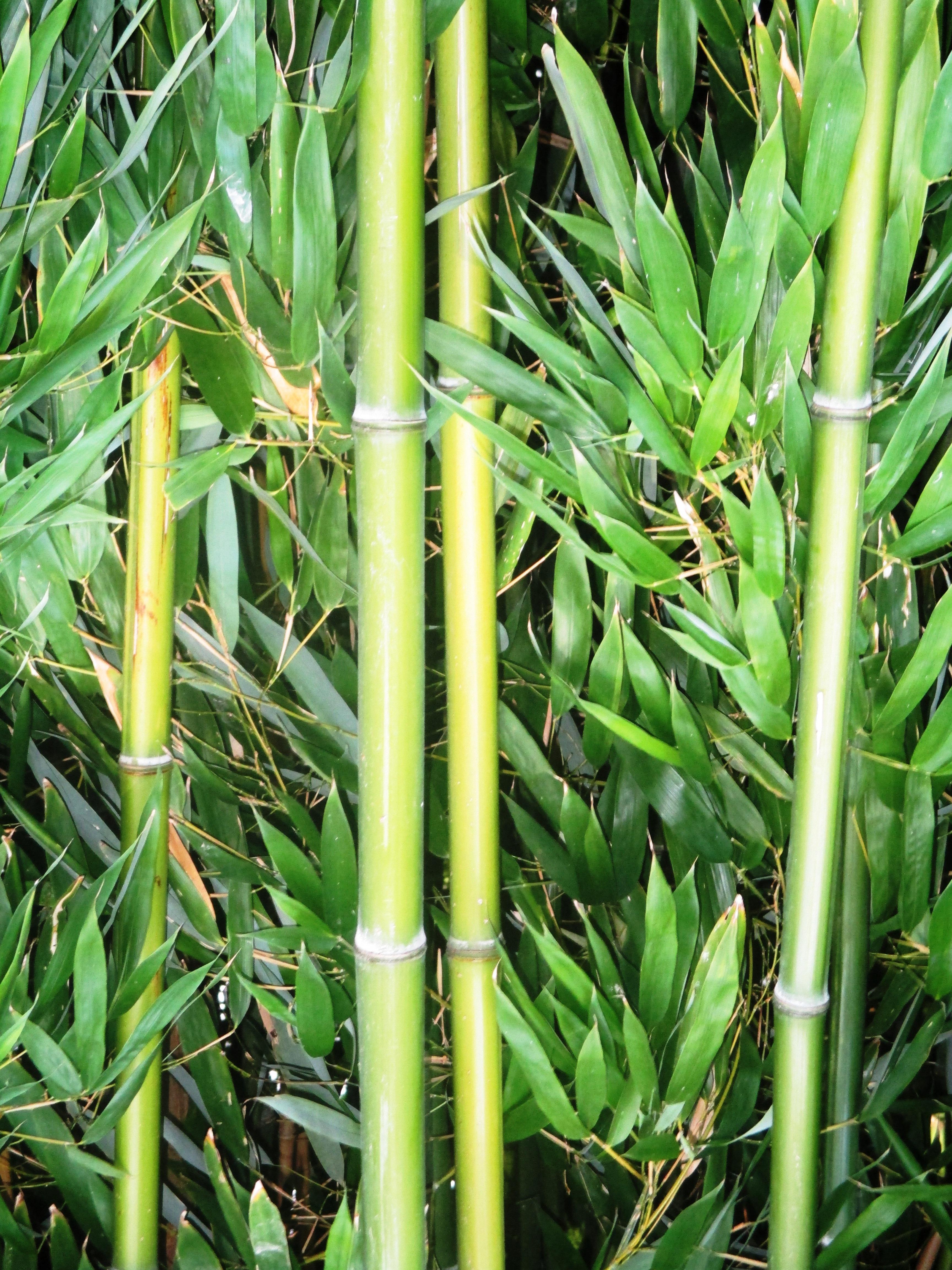 Cultivo bambu maisu with cultivo bambu finest cultivo de bamb lidera la lista de forestales en - Cultivo del bambu ...
