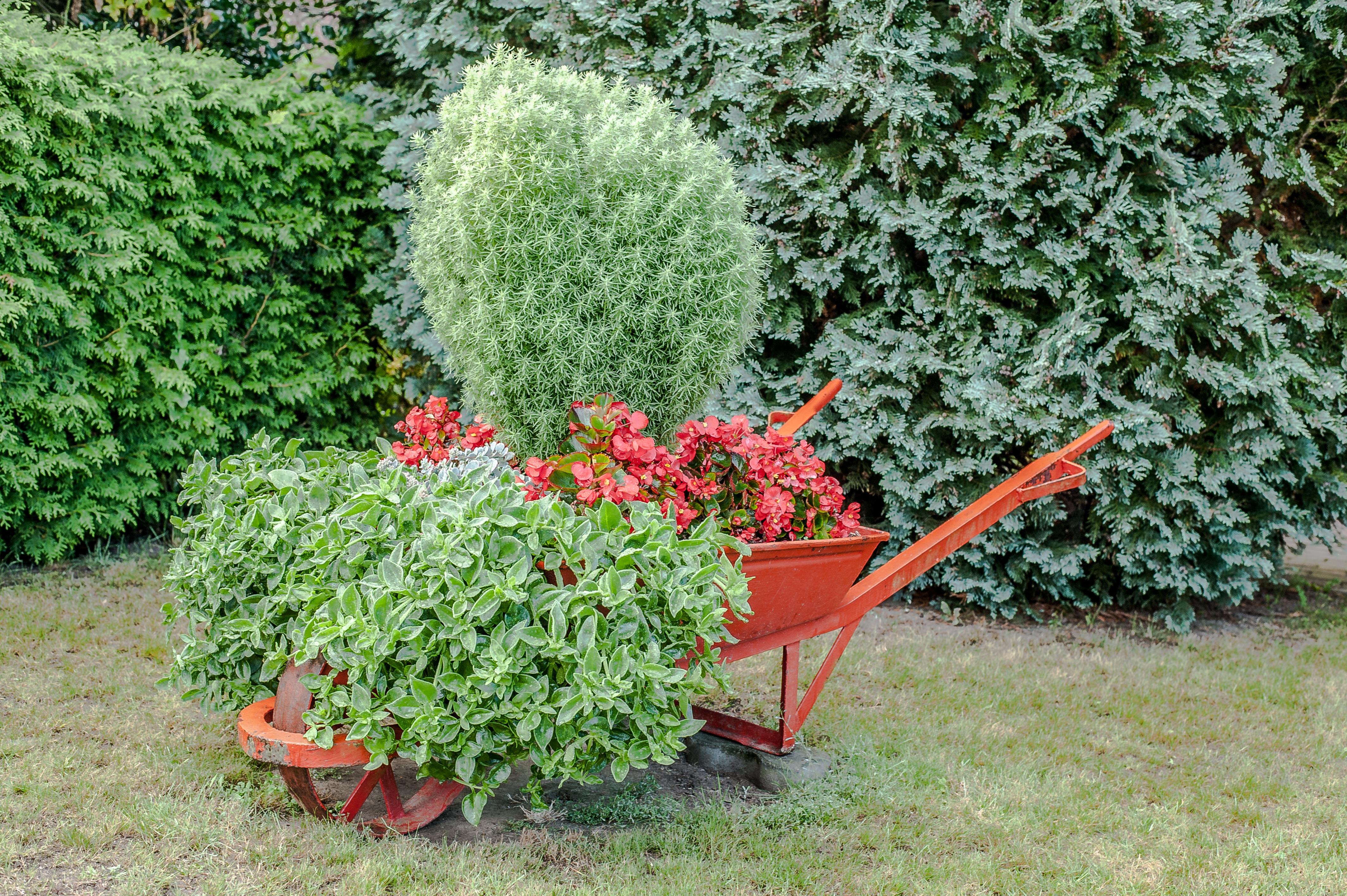 Muito Banco de imagens : árvore, grama, plantar, gramado, flor, vermelho  CT86