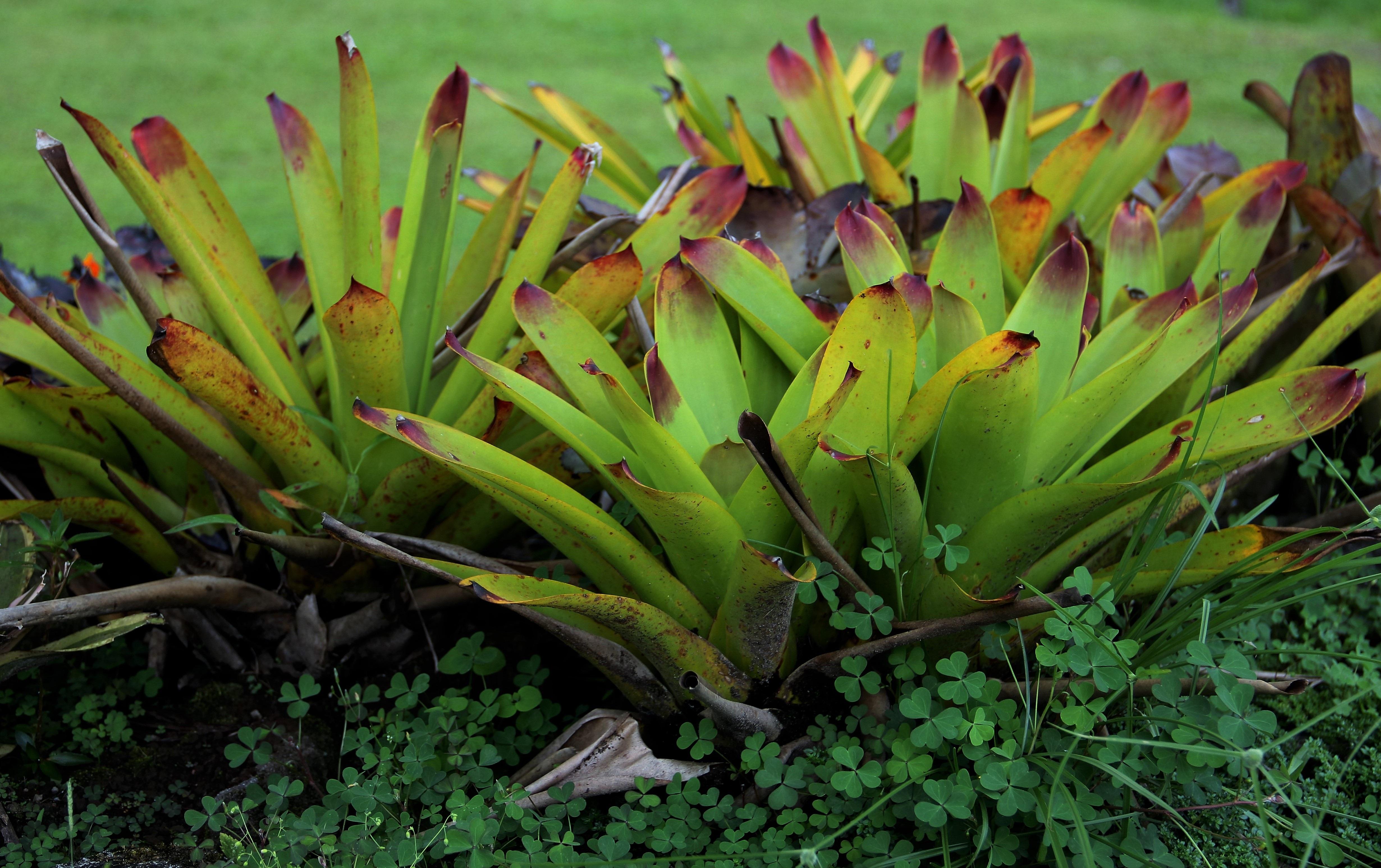 Free Images : tree, leaf, flower, green, flora, leaves, costa rica, flowering plant, genus ...