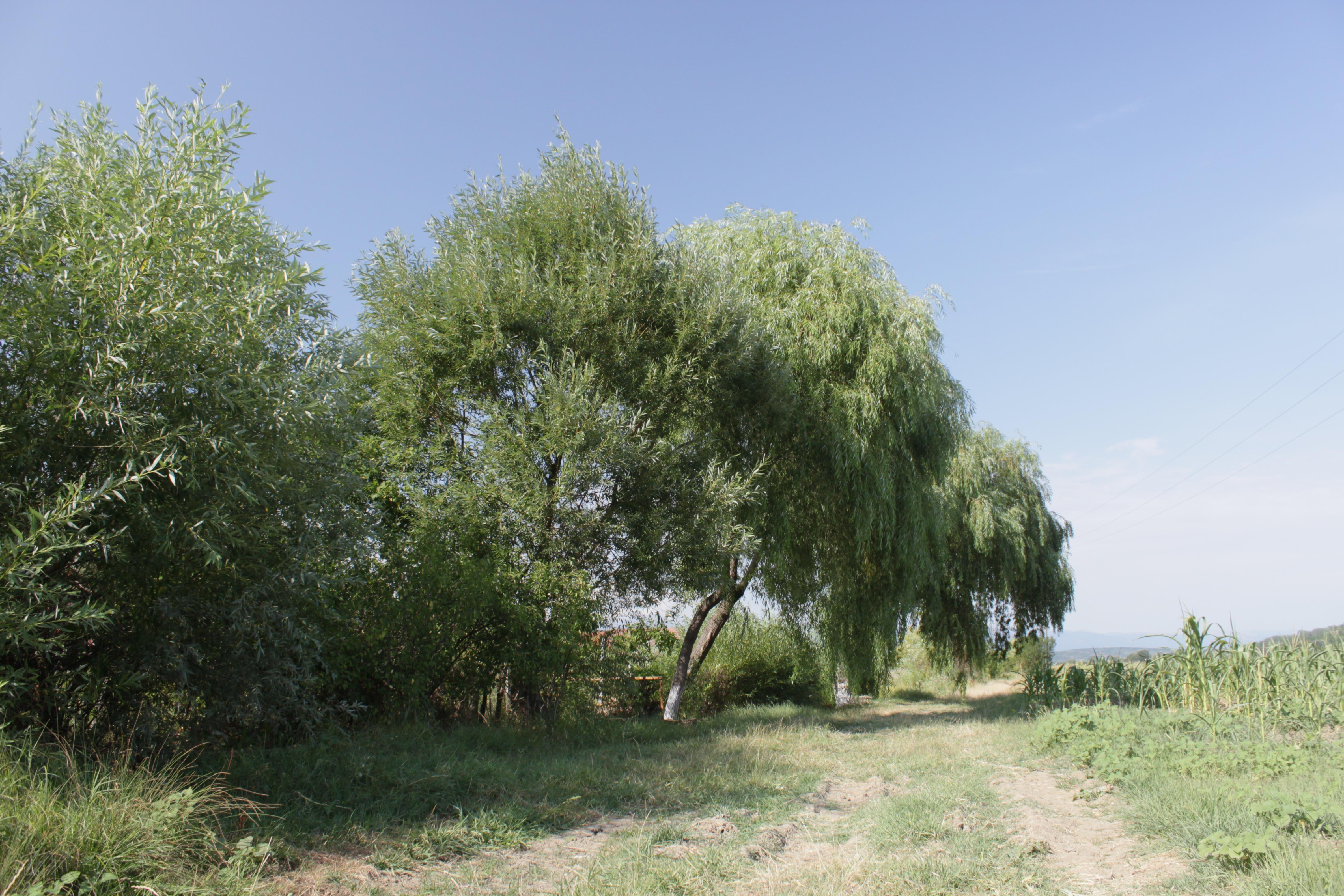 Fotos gratis rbol c sped planta prado verano flora for Arboles para plantar en verano