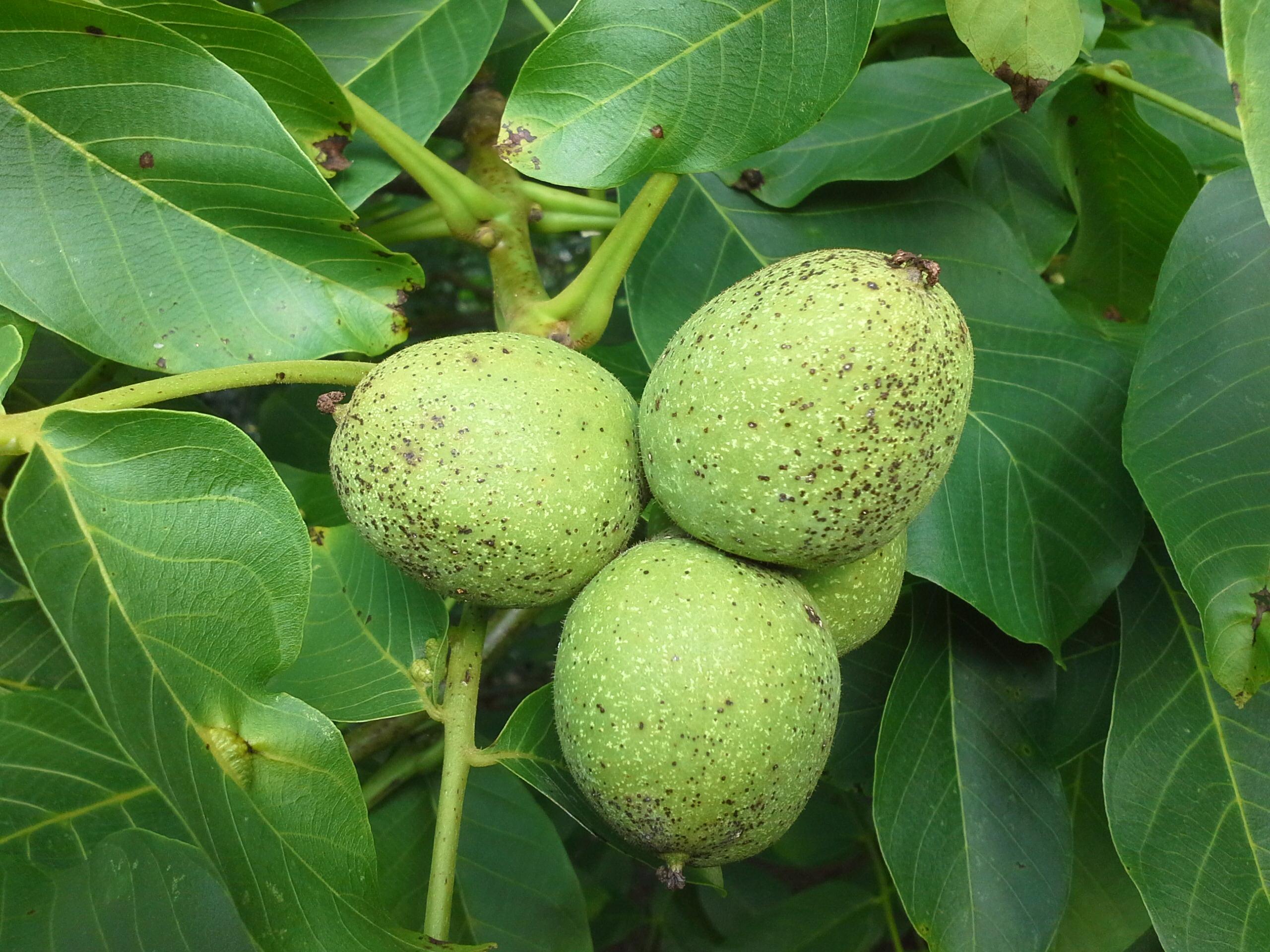 Картинка дерева орех