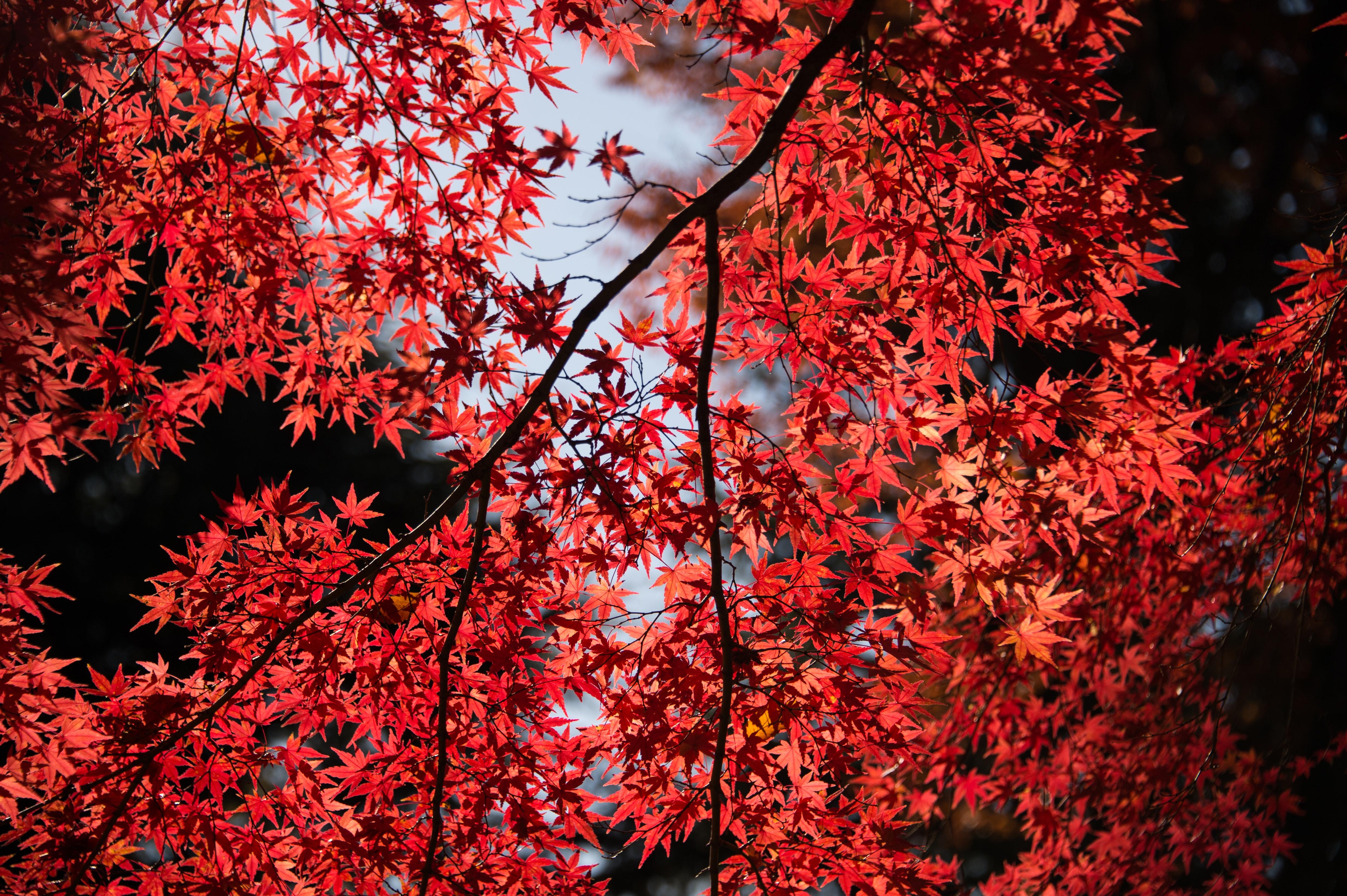 Red Maple Leaf Autumn Deciduous