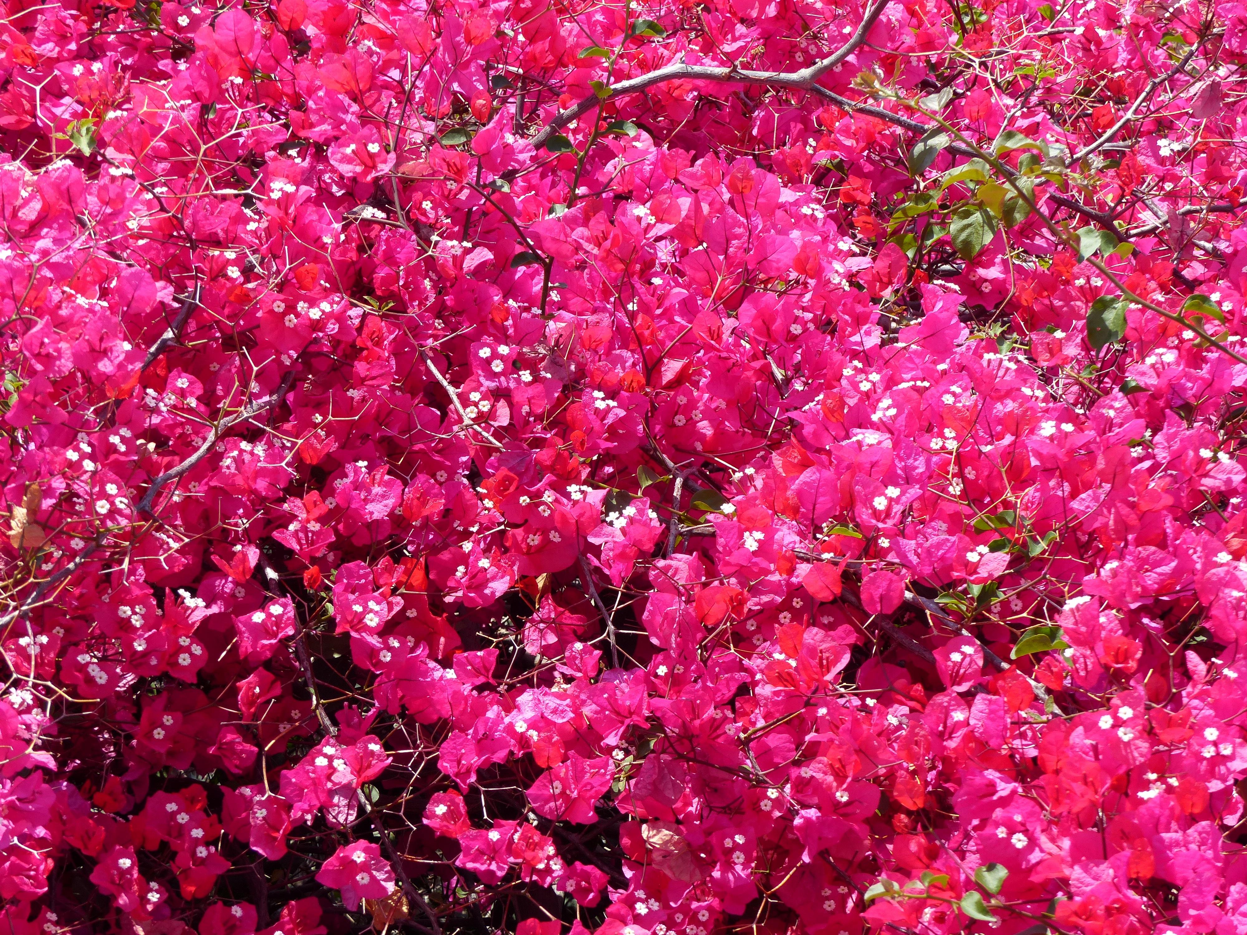 чудесных полянах куст розовые цветы фото для девочки