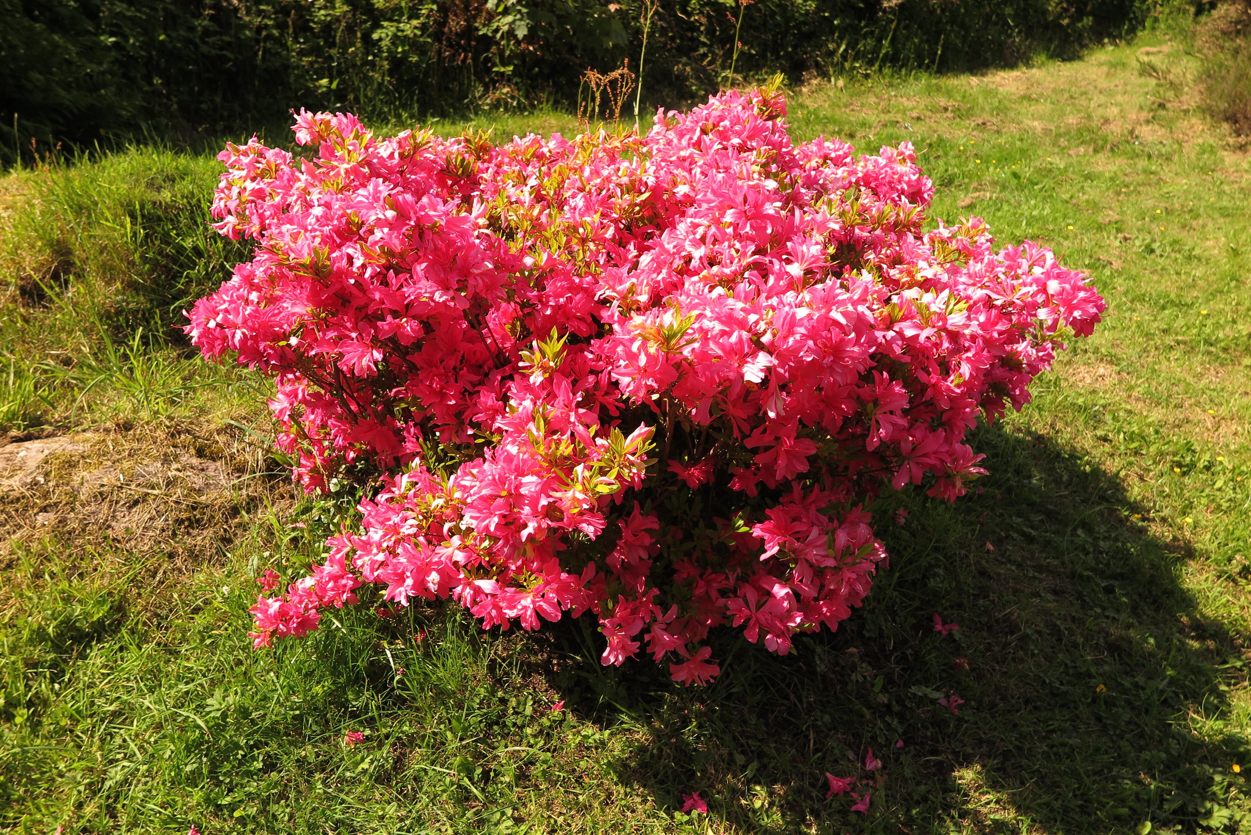 images gratuites arbre la nature fleur buisson