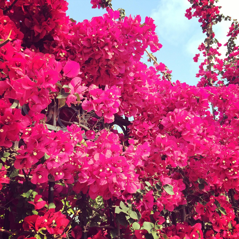 images gratuites arbre la nature fleur p tale floraison rose flore couleur arbuste. Black Bedroom Furniture Sets. Home Design Ideas