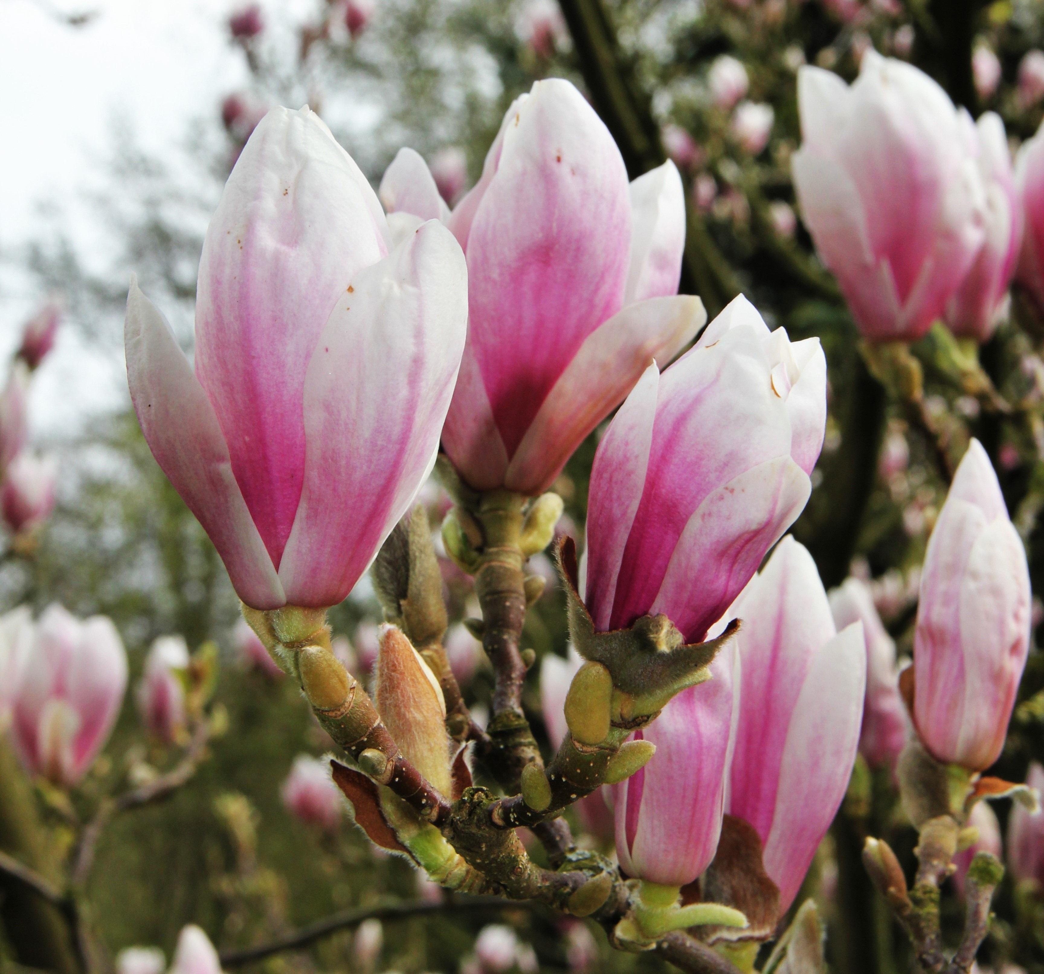 Free Images Tree Nature Blossom Petal Bush Rose Spring Park