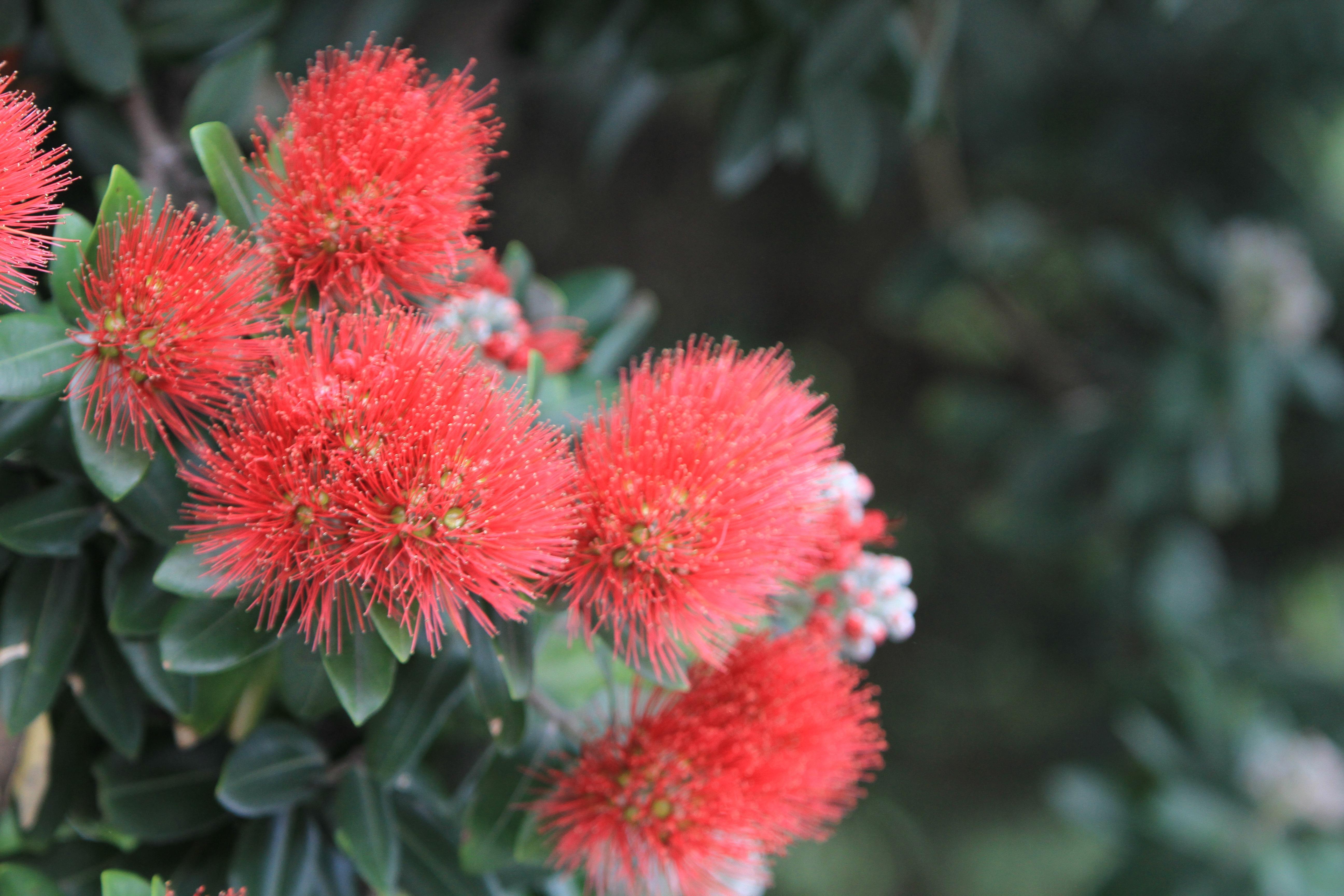 Images gratuites la nature fleur rouge herbe for Plante rouge de noel