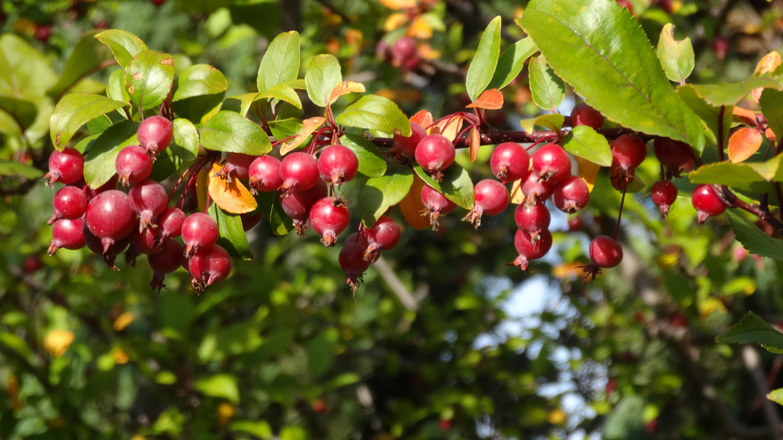 Images gratuites arbre la nature fleur fruit baie for Arbres a feuilles persistantes