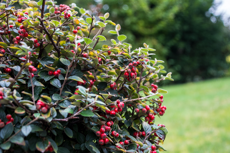 kostenlose foto baum natur bl hen frucht beere blatt blume gr n rot produzieren. Black Bedroom Furniture Sets. Home Design Ideas