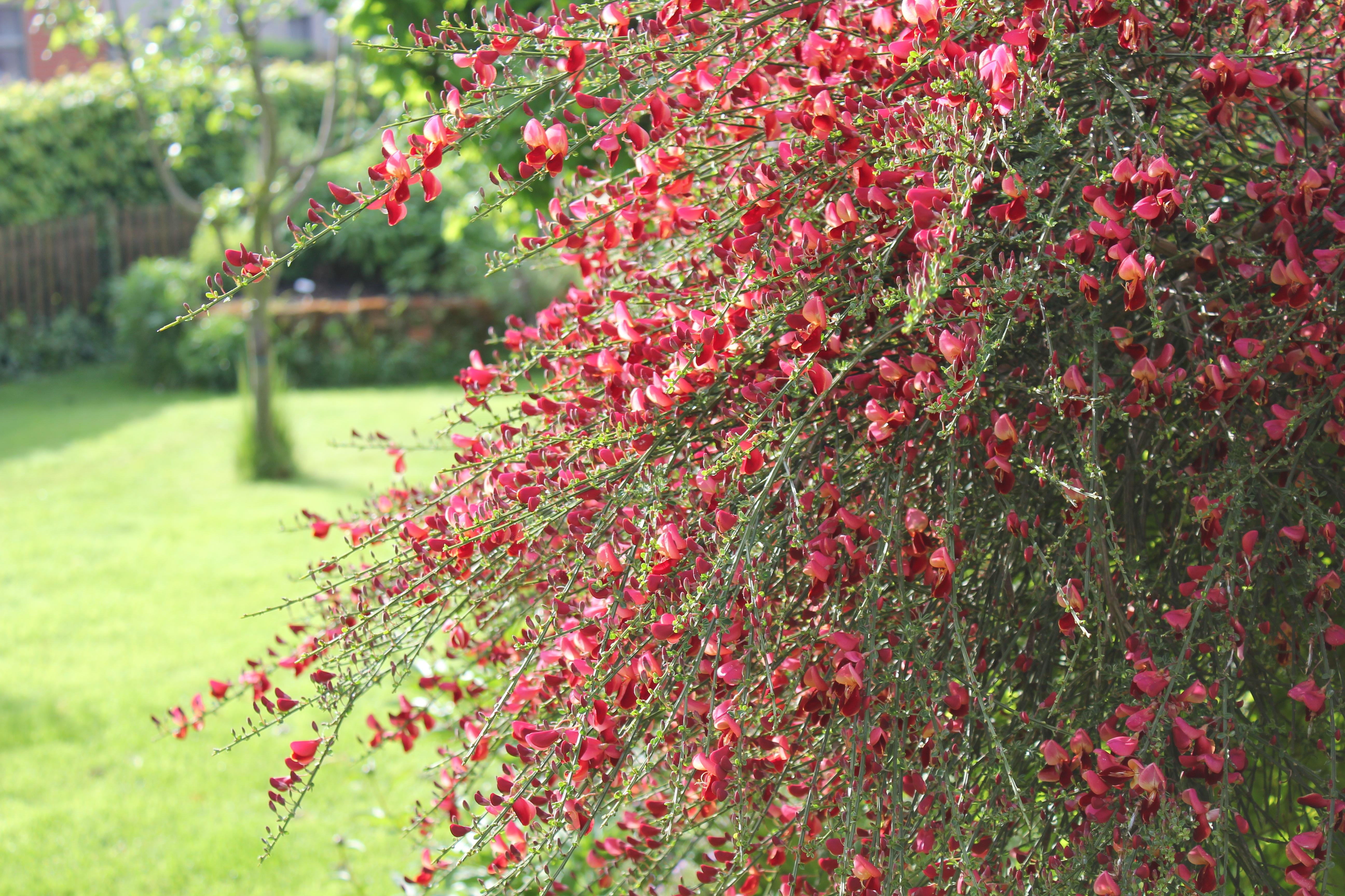 Kostenlose Foto Baum Natur Bluhen Frucht Blatt Blume Rot