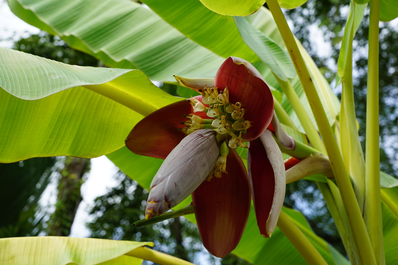 how to get big bannanas tree lands