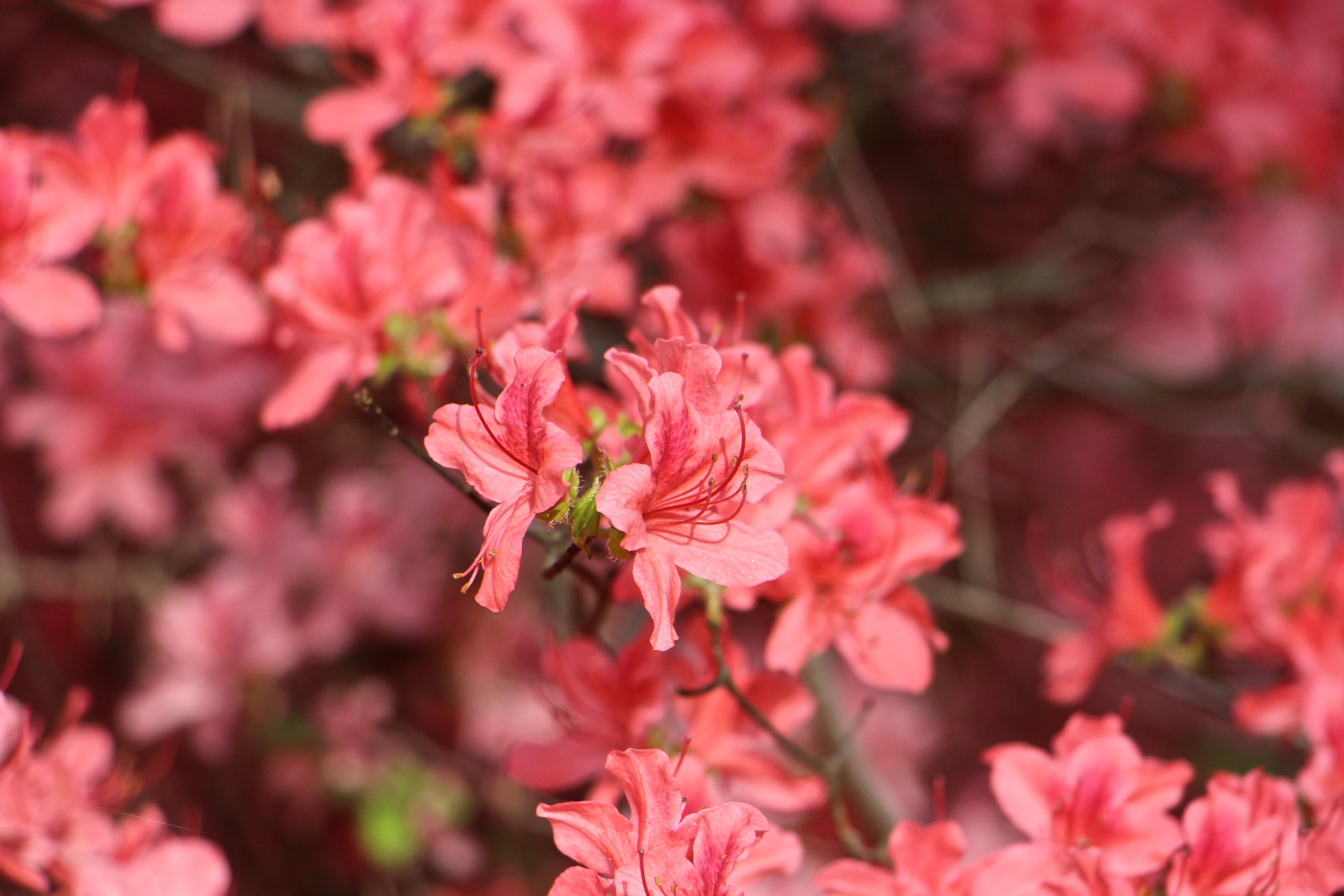 Free Images : tree, nature, blossom, leaf, flower, petal, bloom, red ...