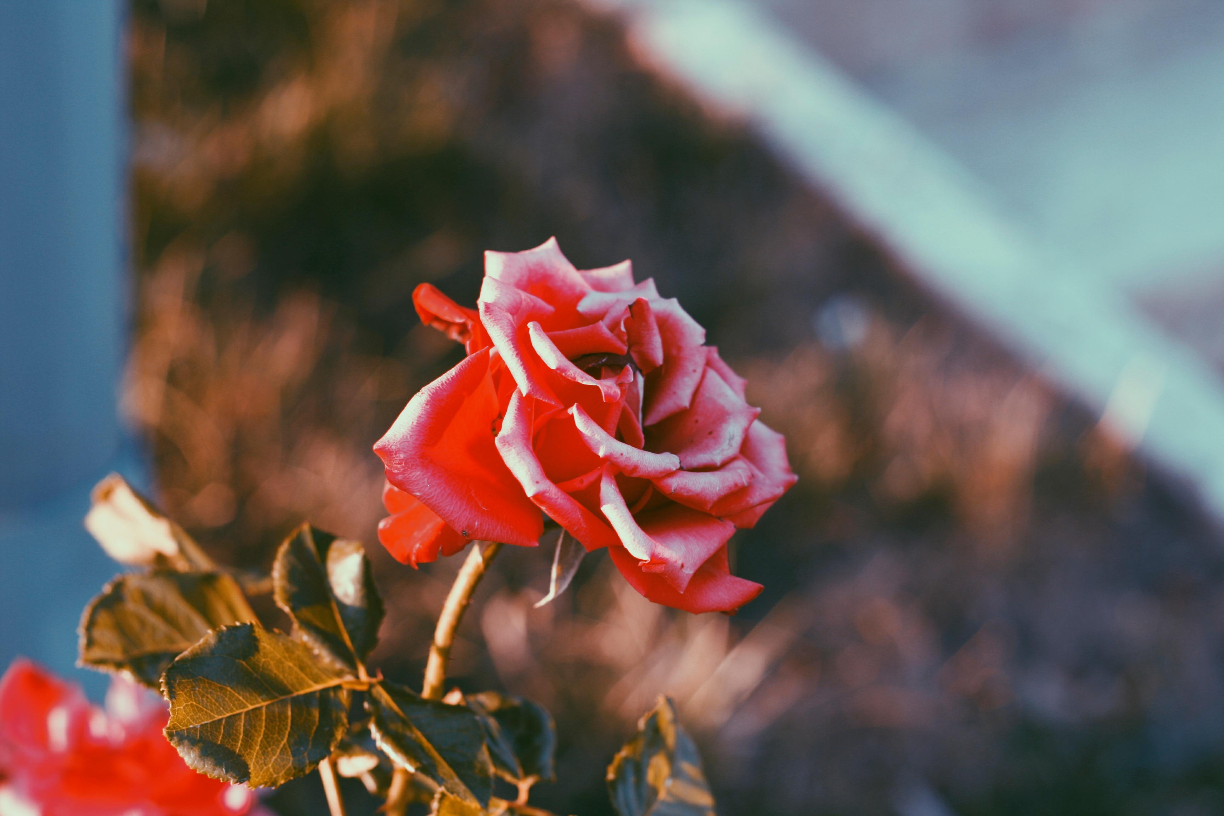 Gambar Pohon Alam Mekar Menanam Daun Bunga Mawar Musim
