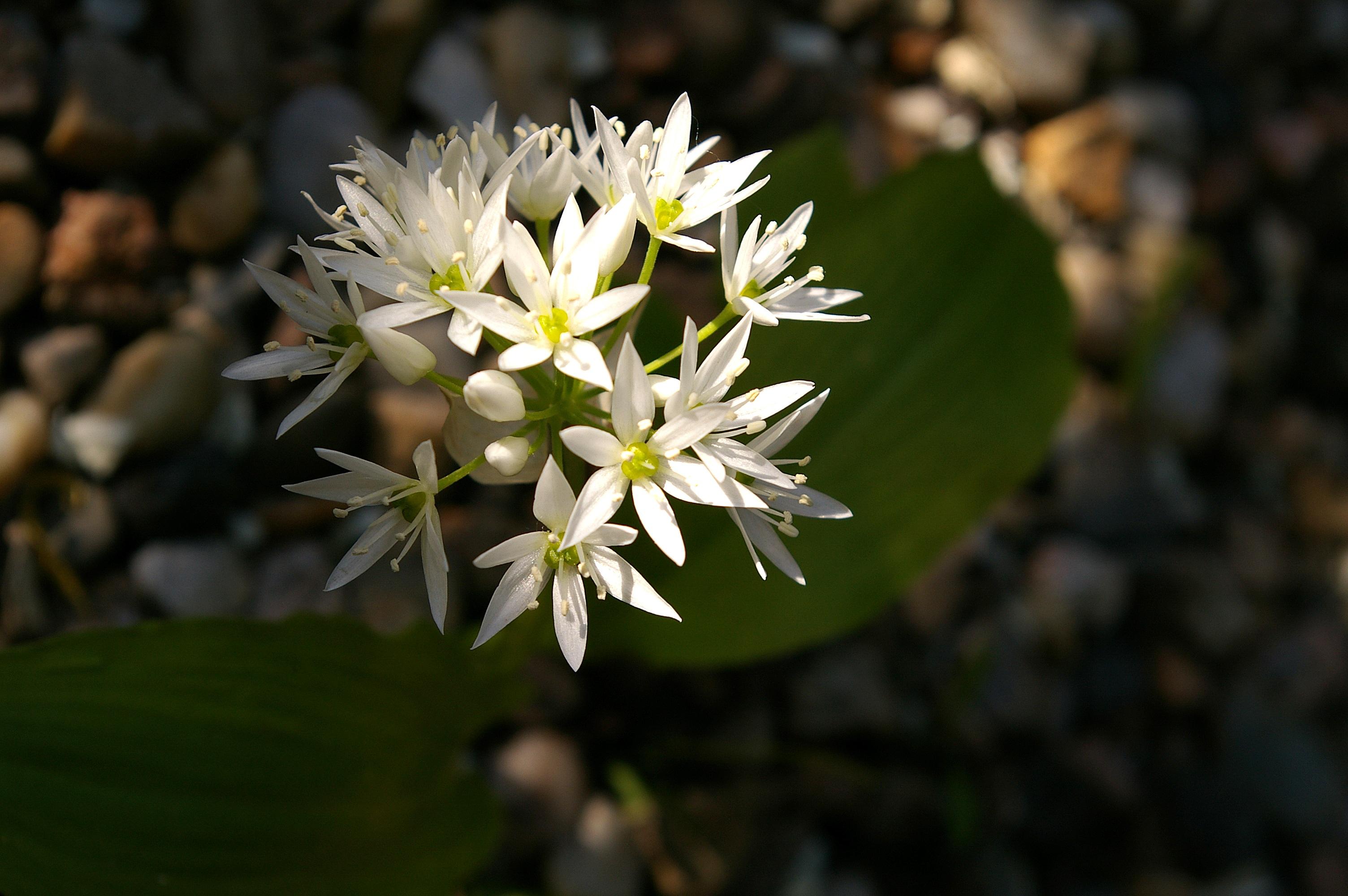 Images Gratuites Arbre La Nature Blanc Feuille Floraison