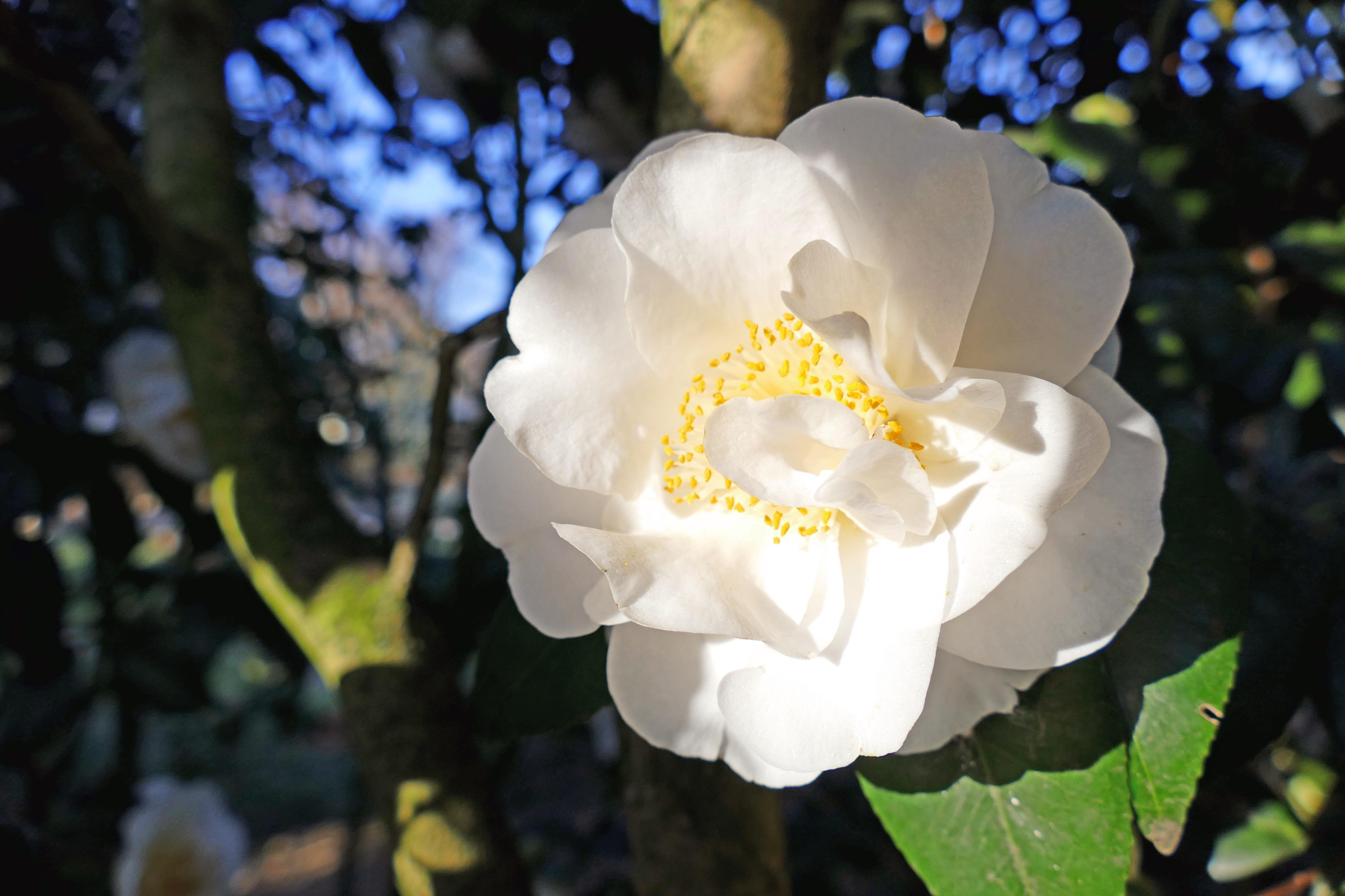 Free Images Nature Blossom Winter White Flower Petal Bloom