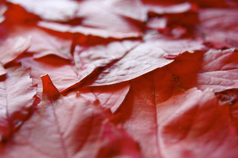 무료 이미지 : 자연, 흐림, 바닥, 꽃잎, 서리, 빨간, 색깔, 가을 ...