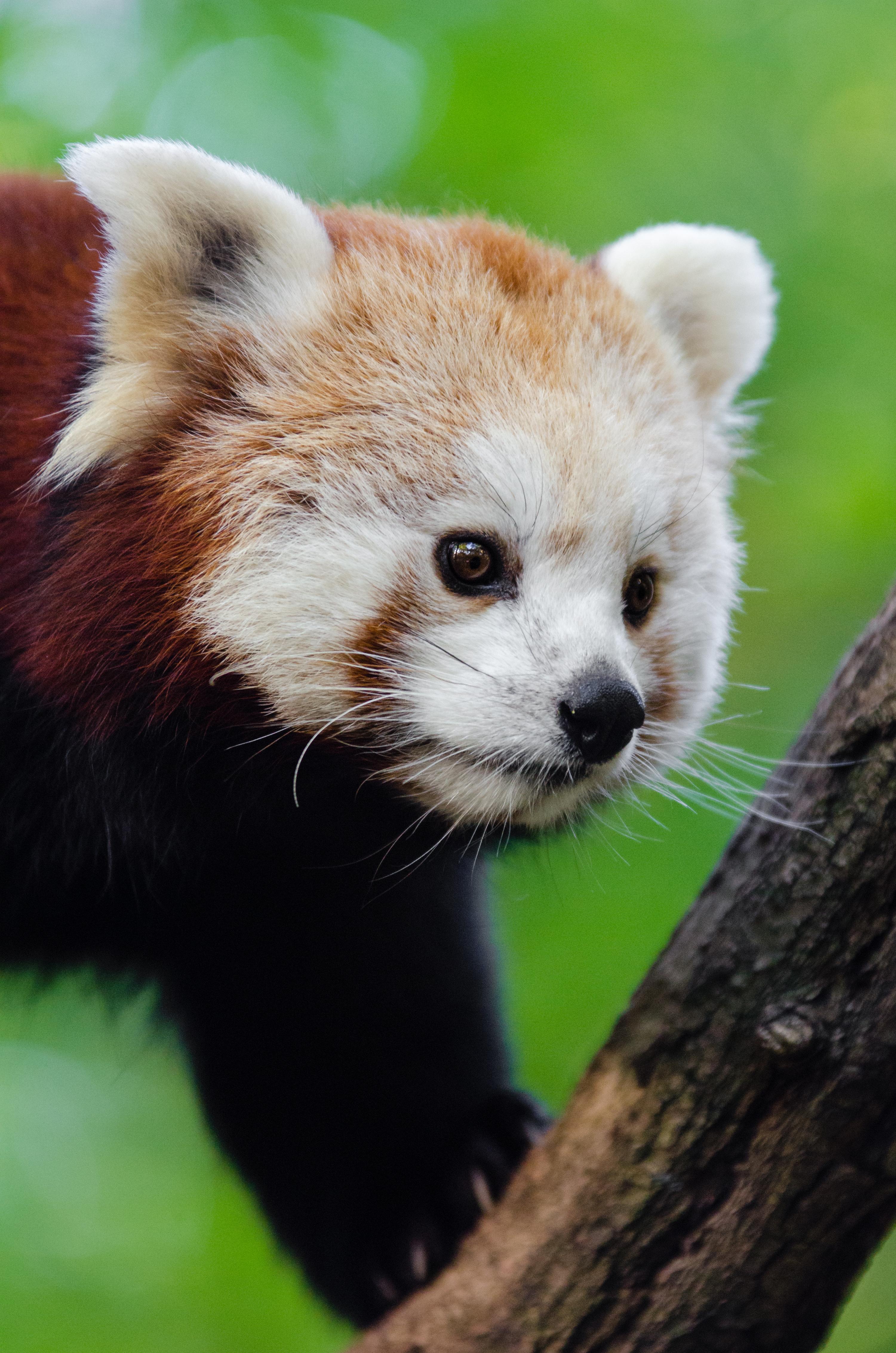 iso panda