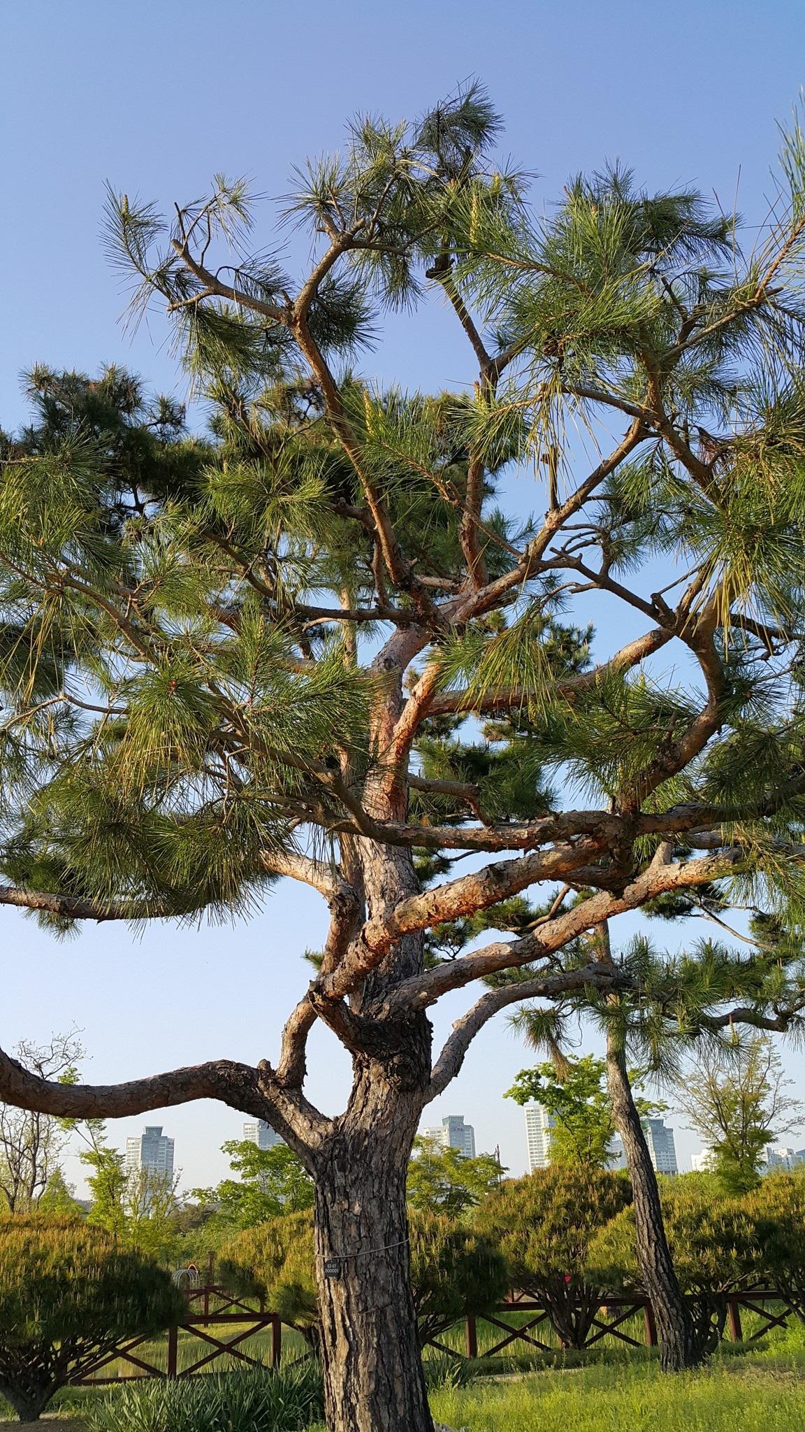 รูปภาพ : ต้นไม้, ธรรมชาติ, สาขา, นามธรรม, ปลูก, เนื้อไม้, ต้นสน, พฤกษศาสตร์, พืช, สะวันนา, สวน ...