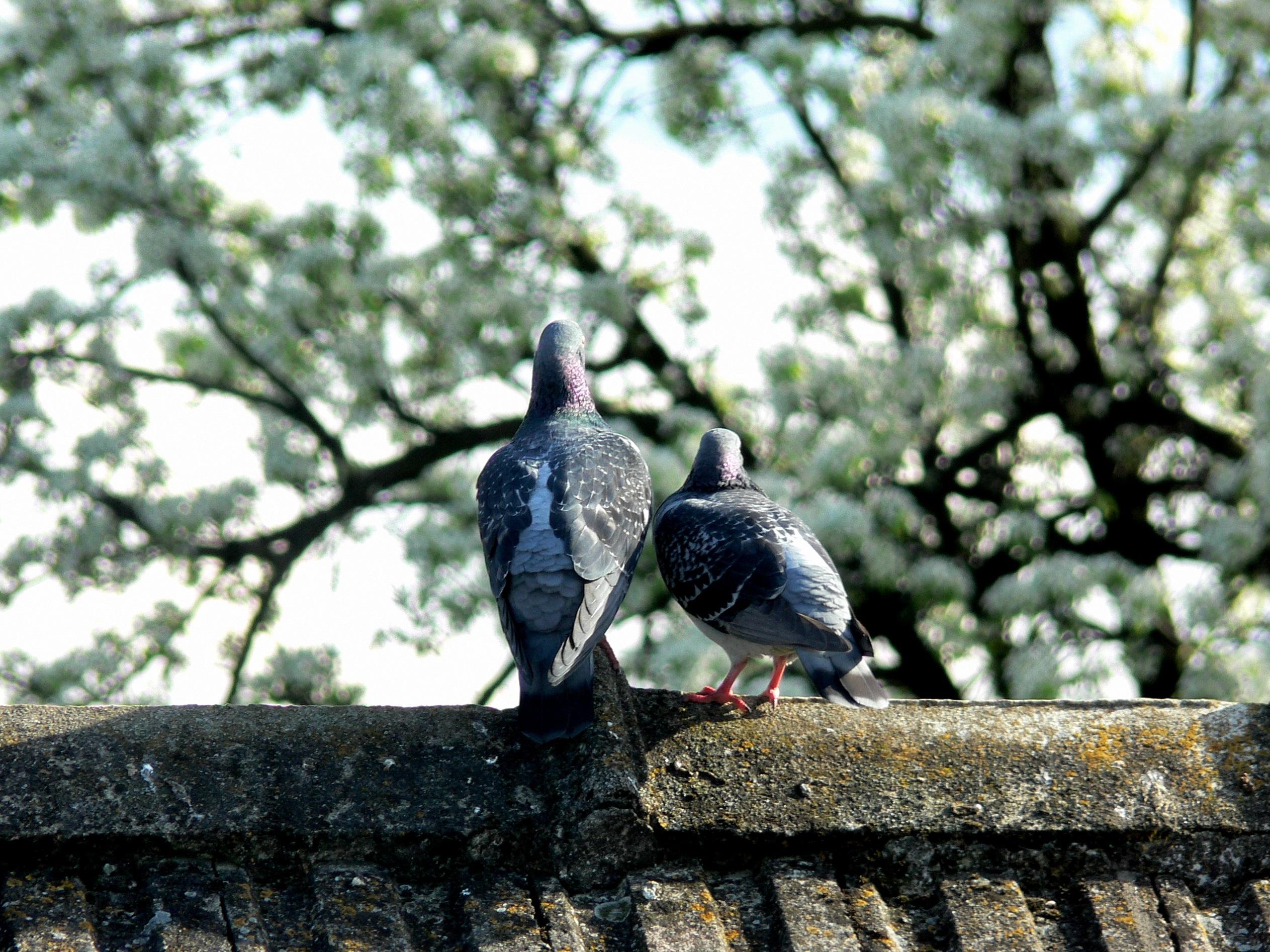1010 Foto Gambar Burung Merpati Dan Bunga  Terbaik Free