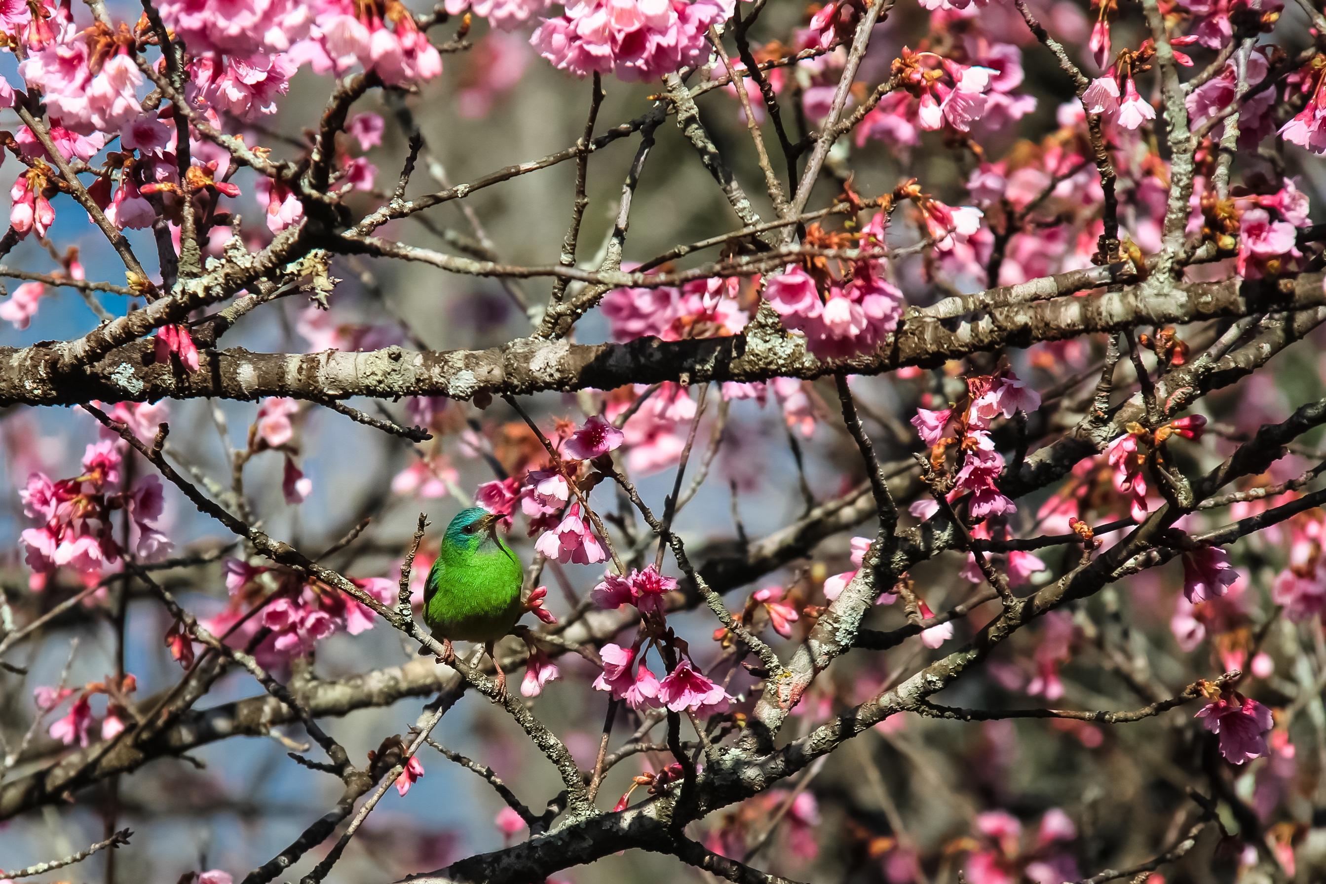 Unduh 54+ Gambar Bunga Sakura Hidup Gratis