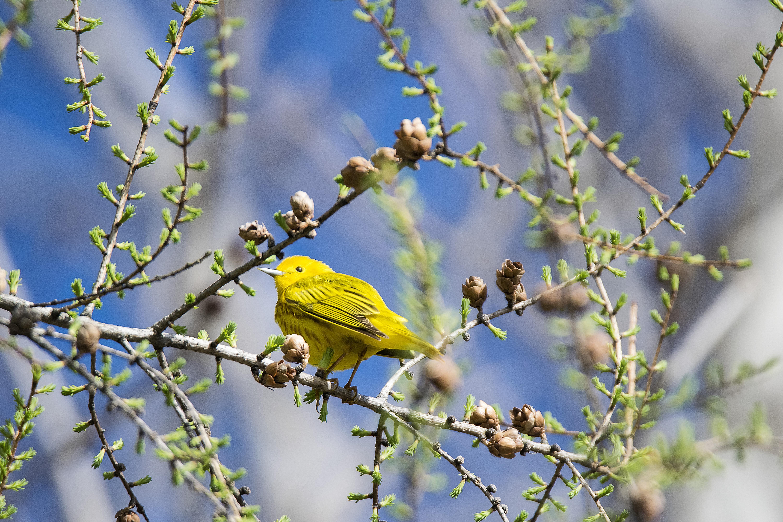 Images gratuites arbre la nature branche fleur for Oiseaux de jardin au printemps