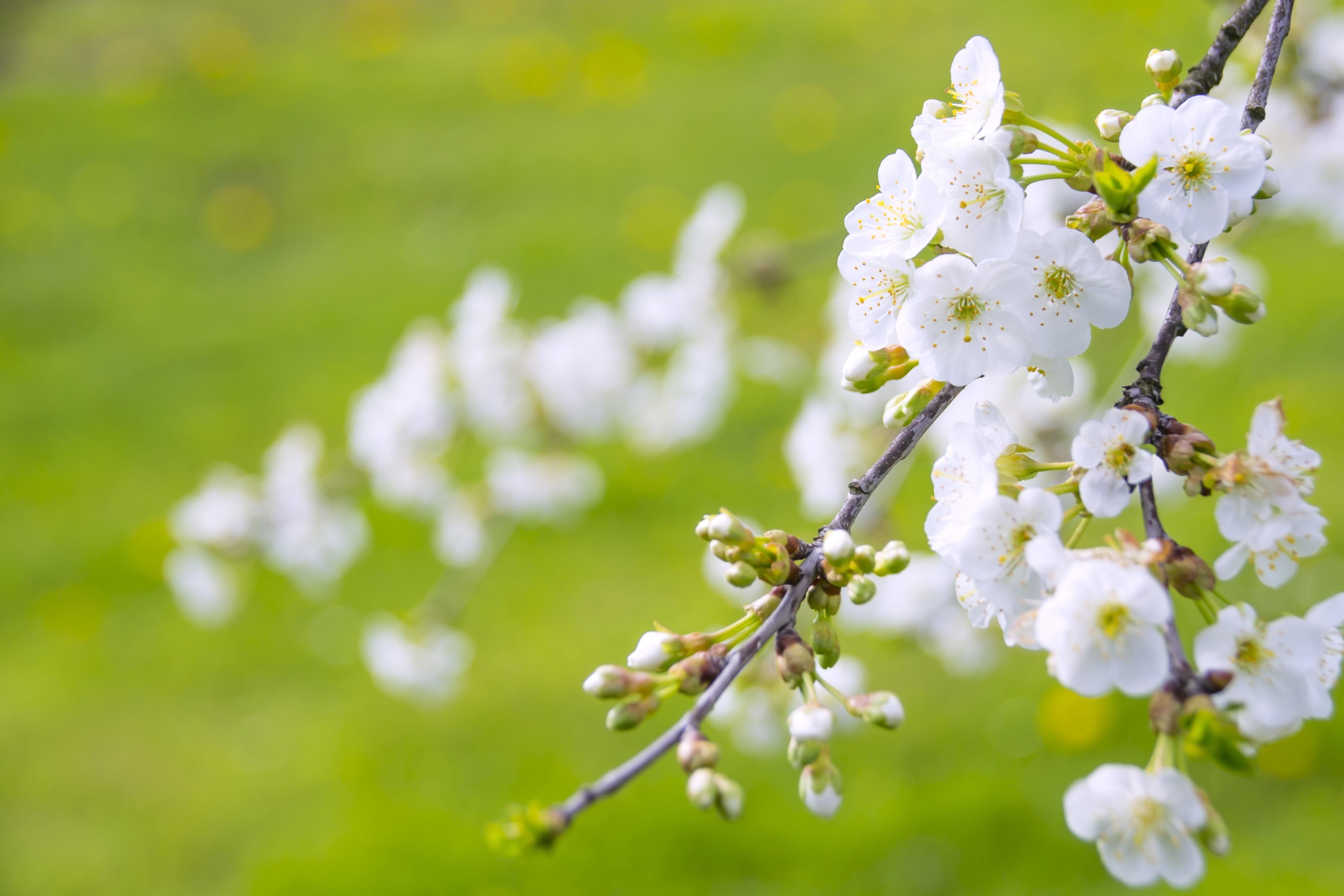 Free nature branch bokeh flower petal spring green