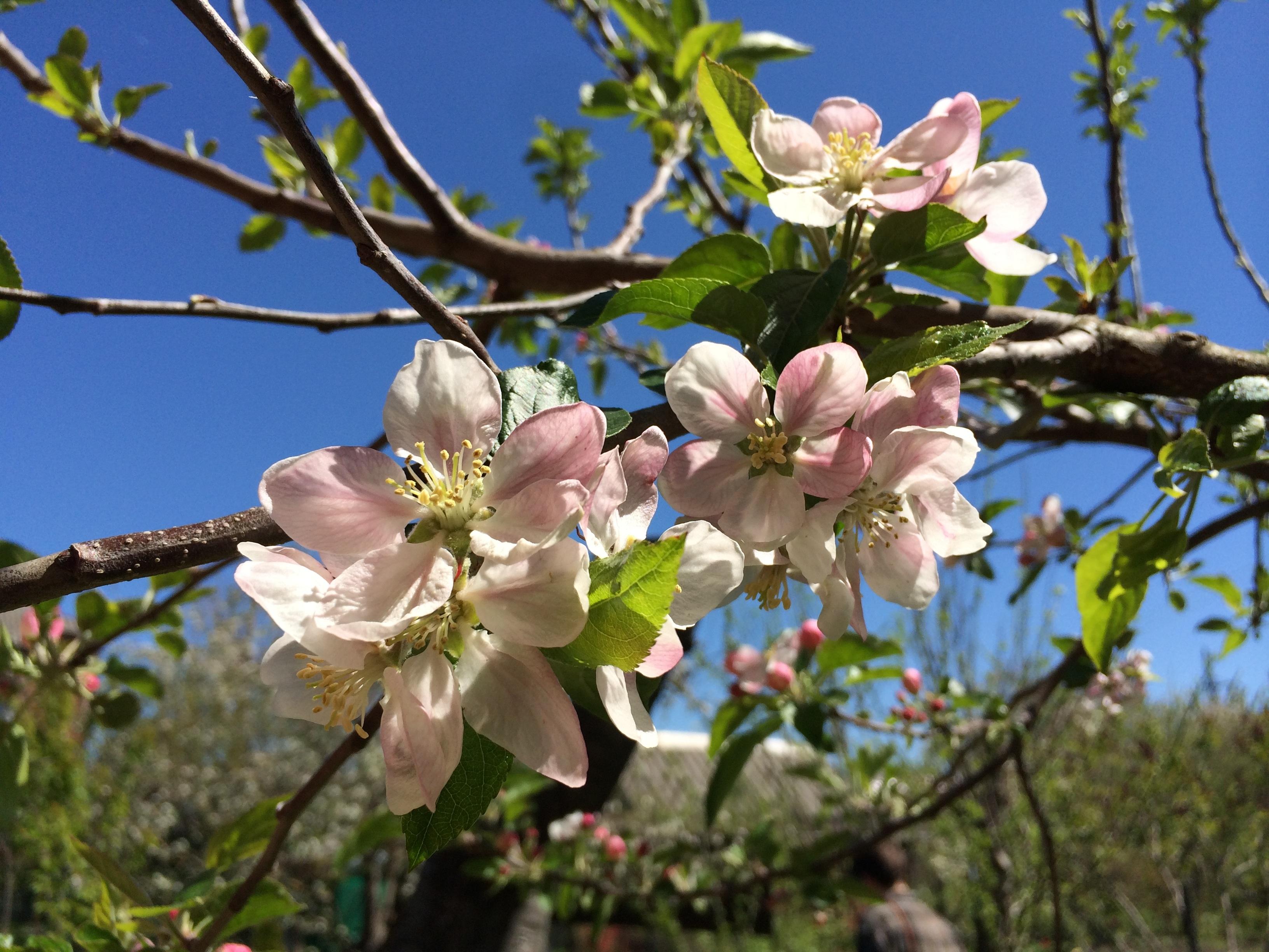 images gratuites arbre la nature branche aliments printemps produire botanique flore. Black Bedroom Furniture Sets. Home Design Ideas