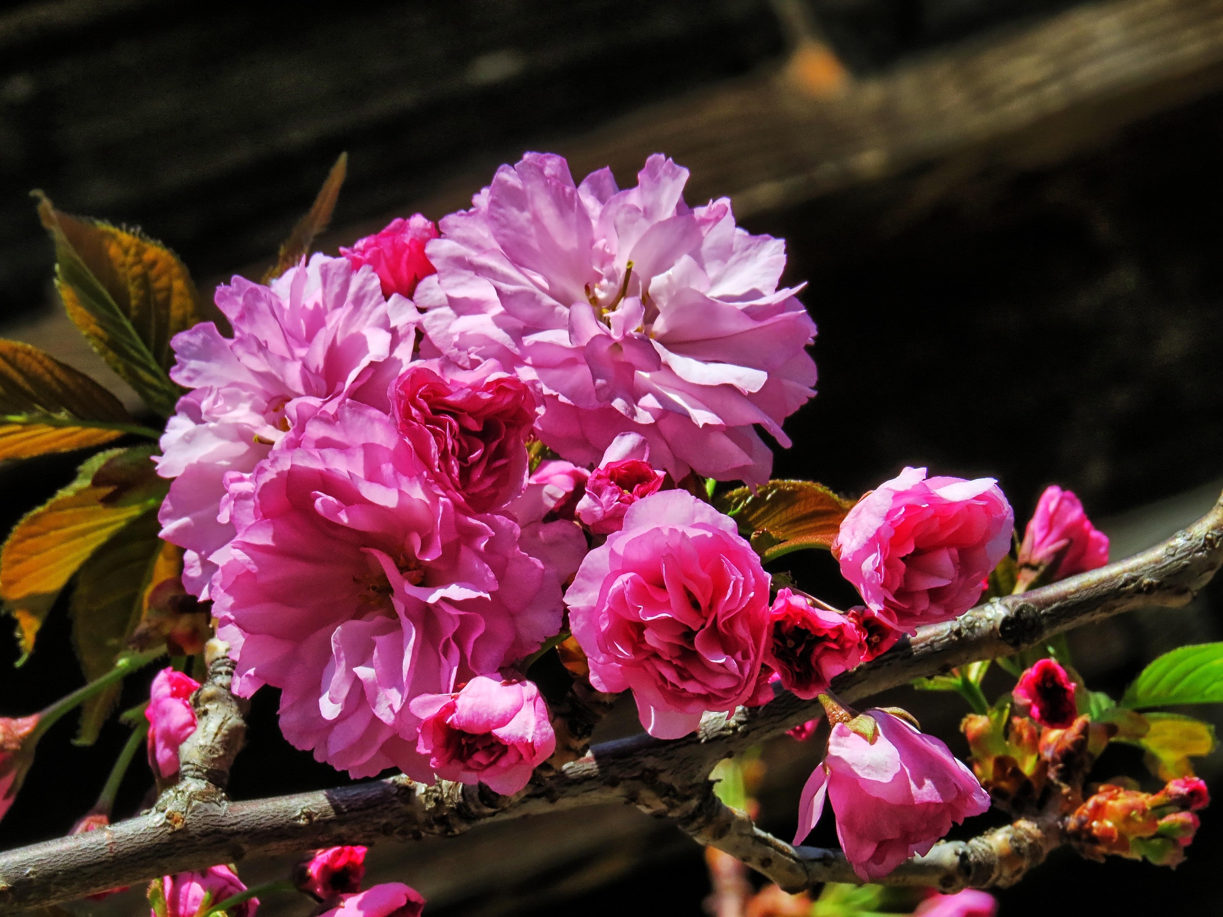 gambar pohon alam cabang mekar menanam daun bunga berkembang musim semi botani berwarna merah muda flora bunga sakura belukar budidaya bunga