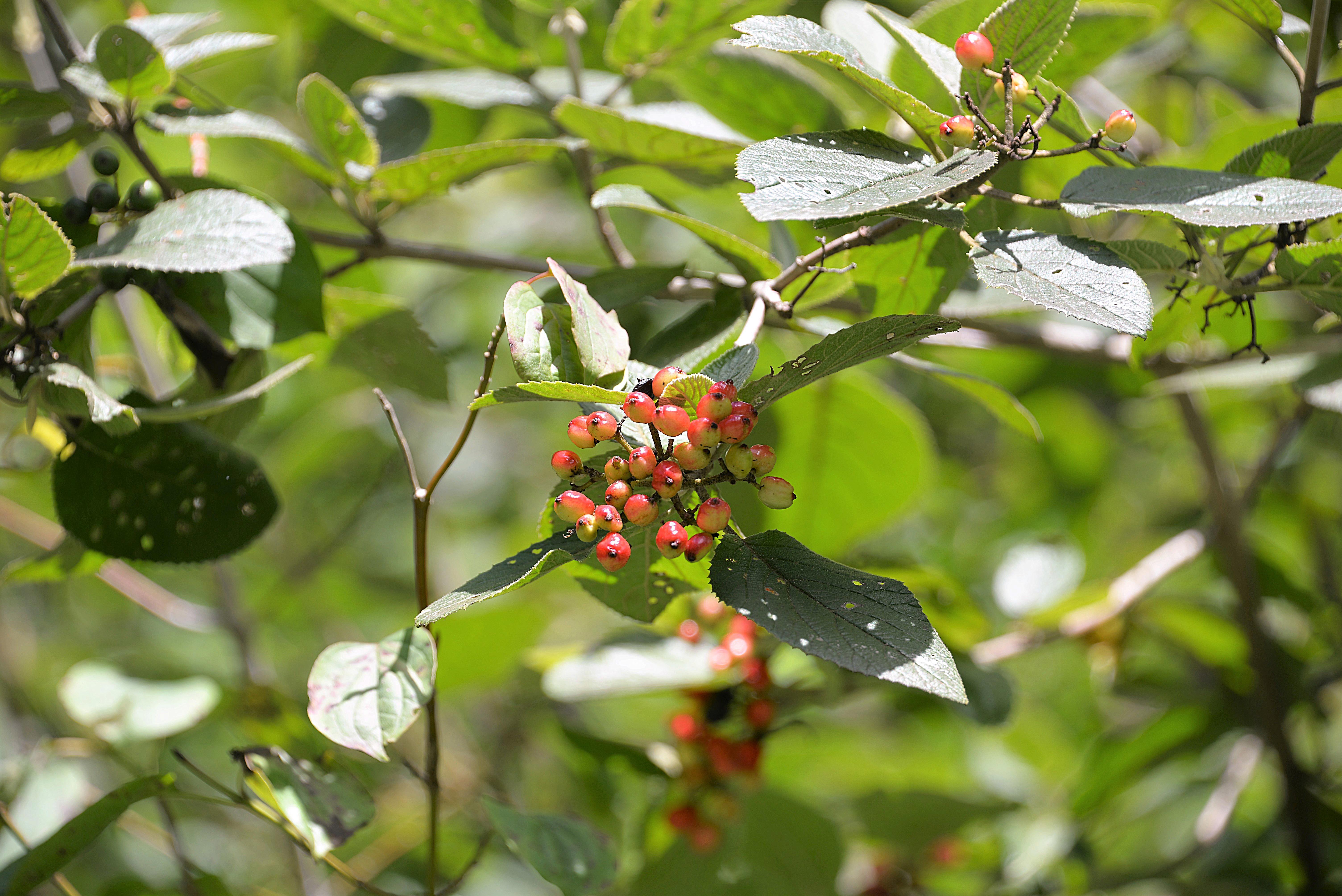 Baum Natur Ast Blühen Pflanze Frucht Beere Blatt Blume Lebensmittel Grün Rot Produzieren Immergrün Botanik Flora