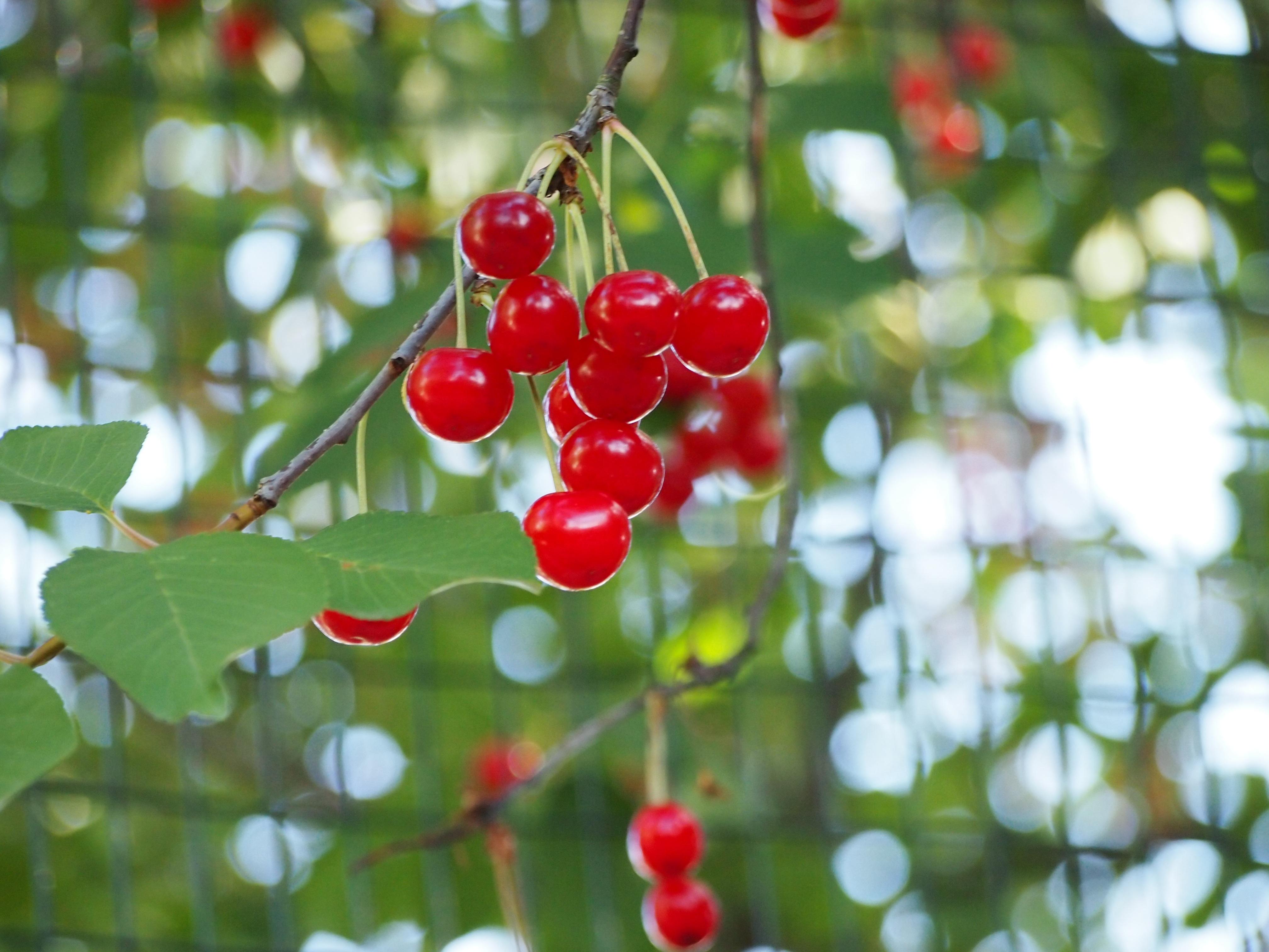Kostenlose foto : Baum, Natur, Ast, blühen, Frucht, Beere, Blatt ...