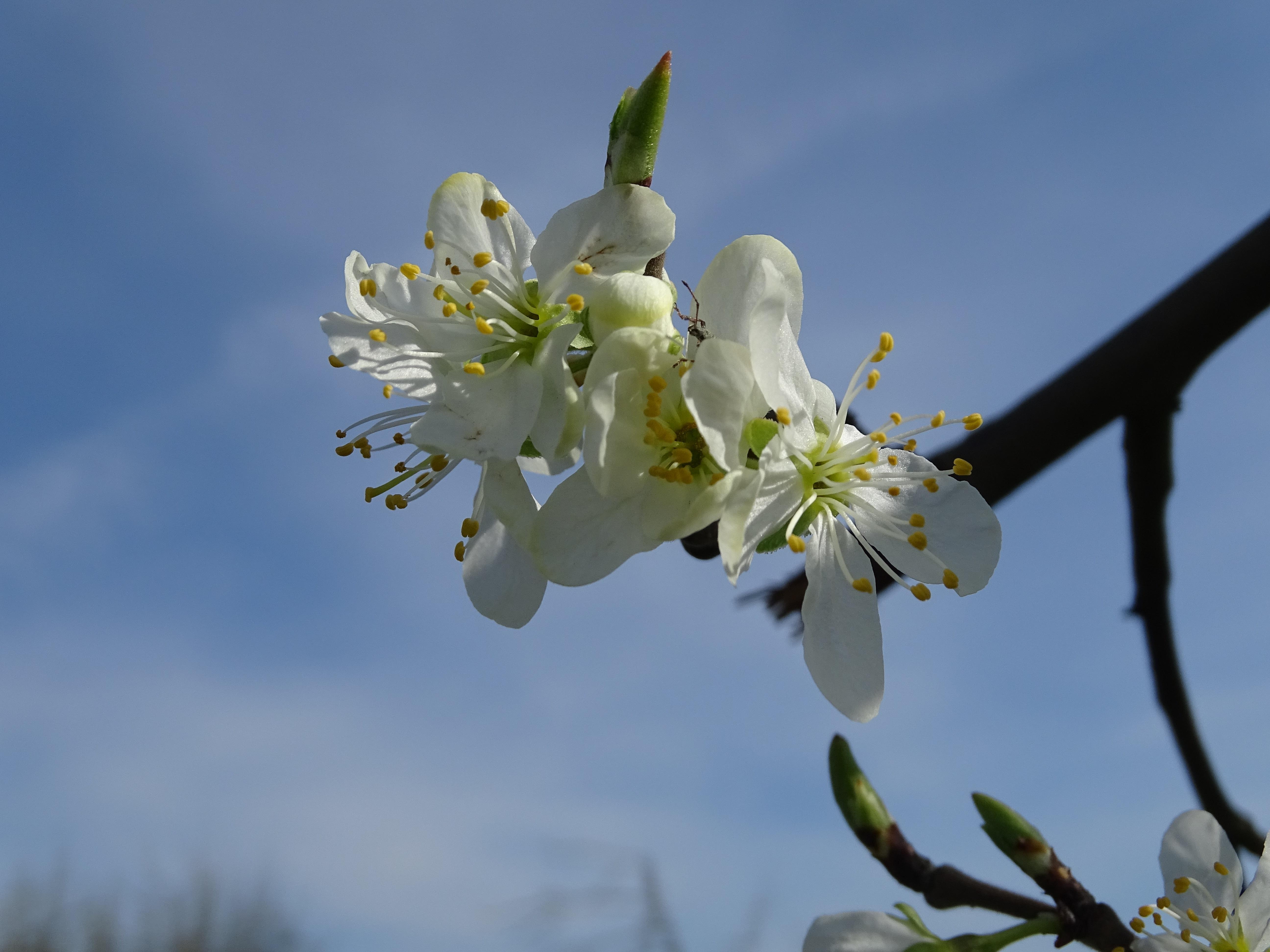 banco de imagens natureza ramo plantar fruta flor comida primavera produzir botnica flora flor de cerejeira flores silvestres fecharse