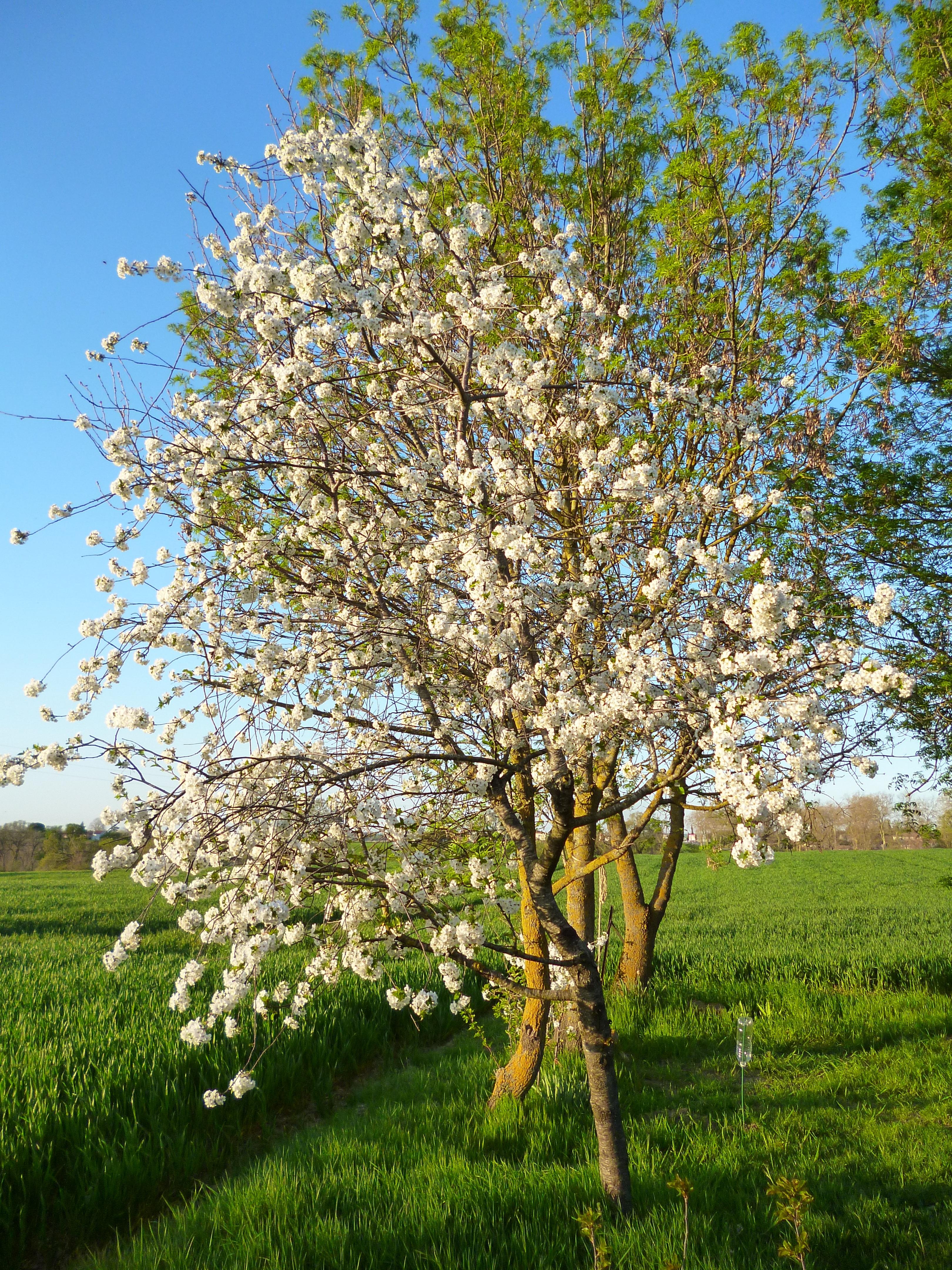 Piante Da Frutto Sempreverdi immagini belle : natura, ramo, fiorire, fiore, cibo