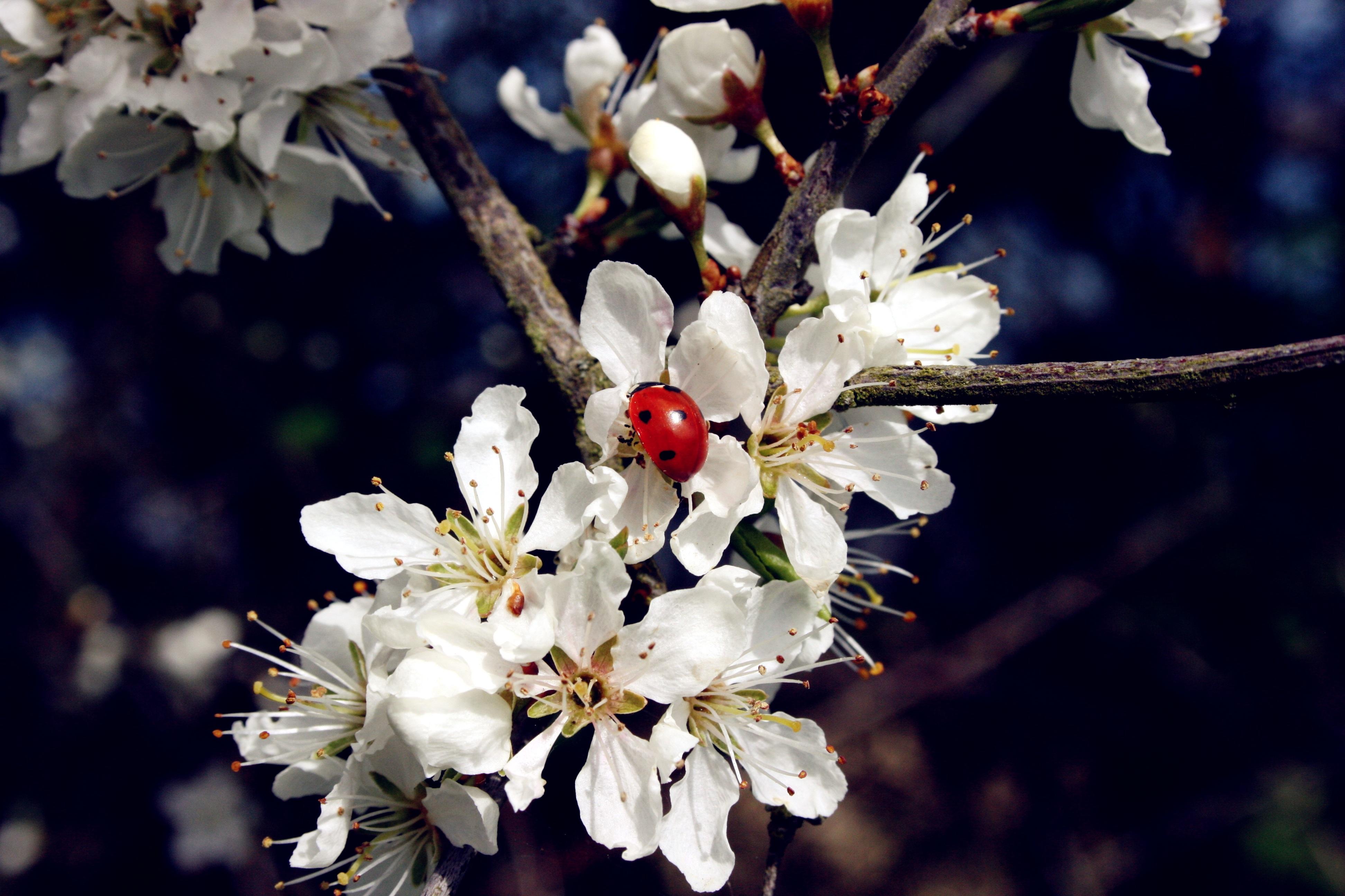 images gratuites : arbre, la nature, branche, fruit, pétale