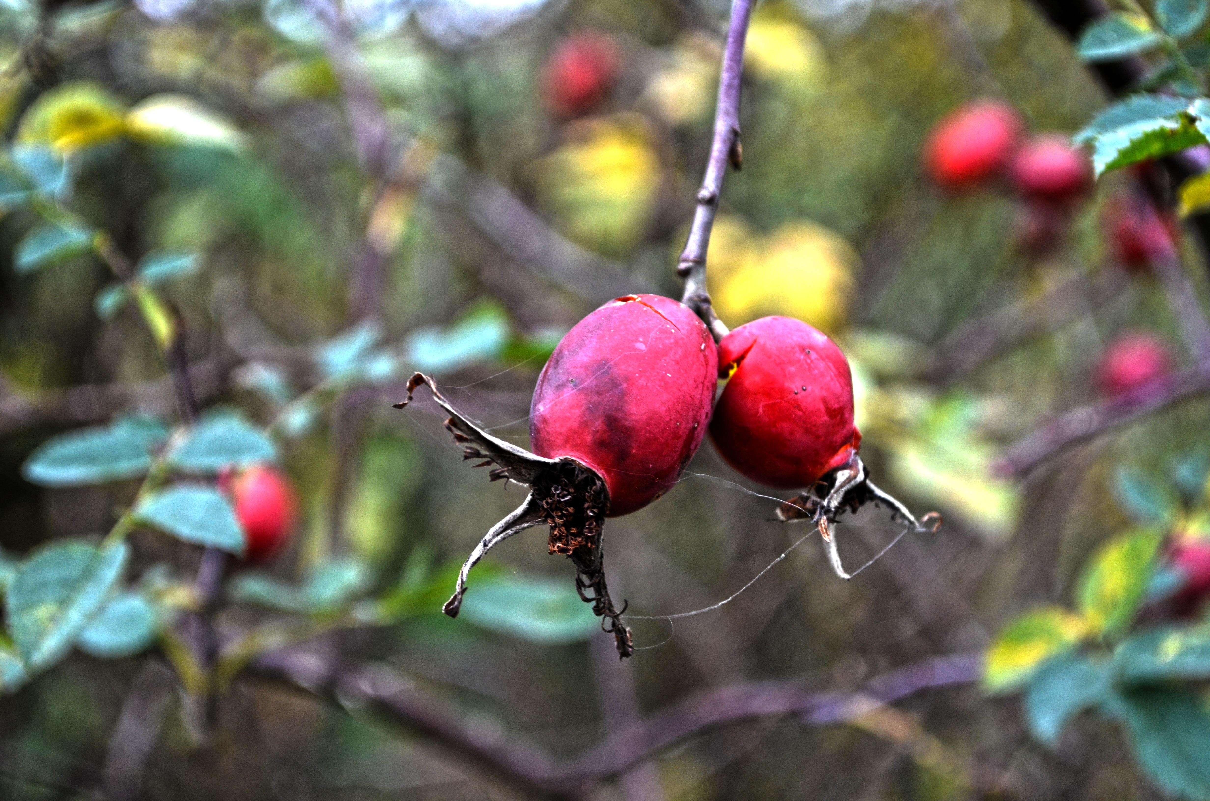 images gratuites arbre la nature branche fleur fruit feuille parking aliments rouge. Black Bedroom Furniture Sets. Home Design Ideas