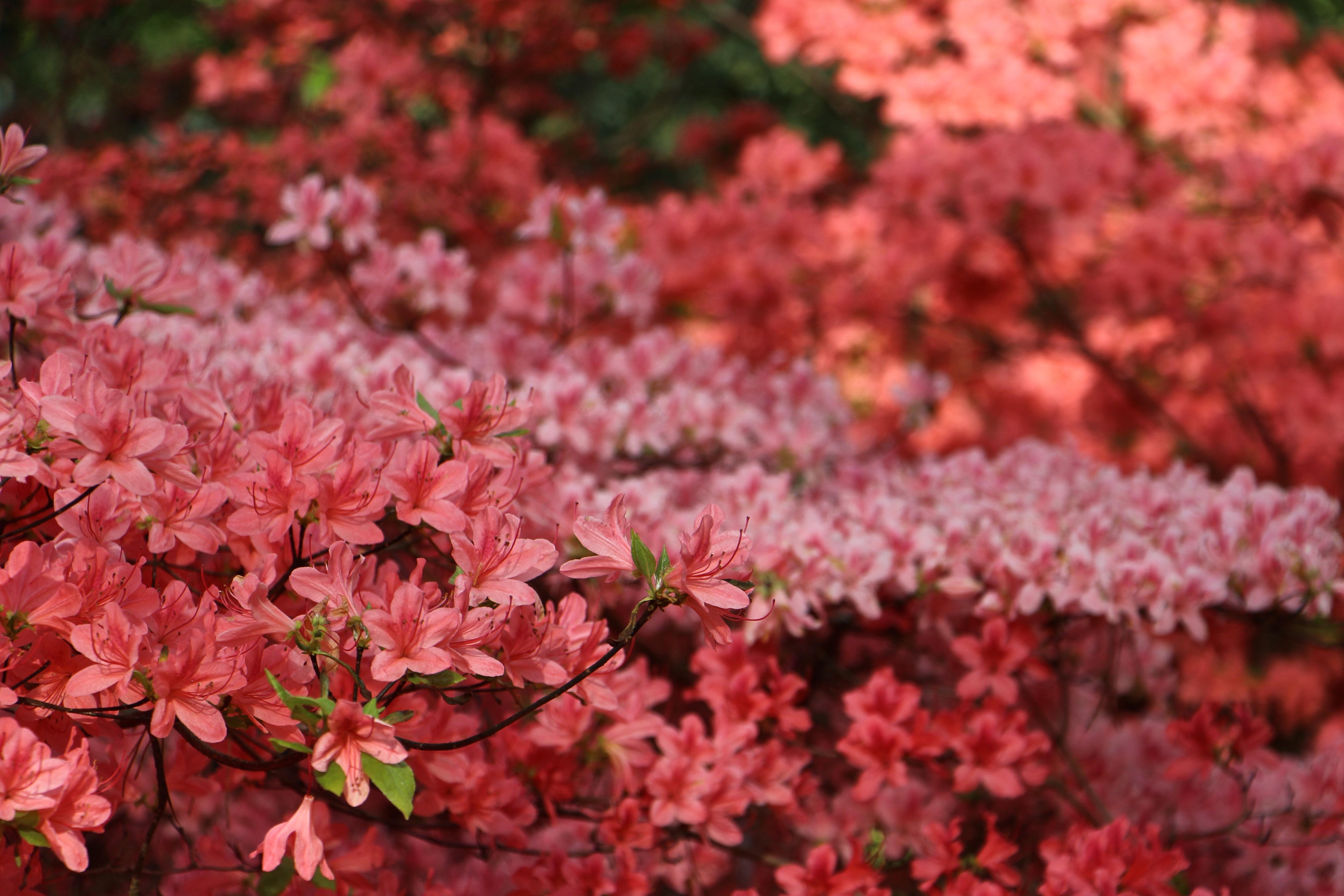 Free Images : tree, nature, branch, blossom, leaf, flower, bloom ...