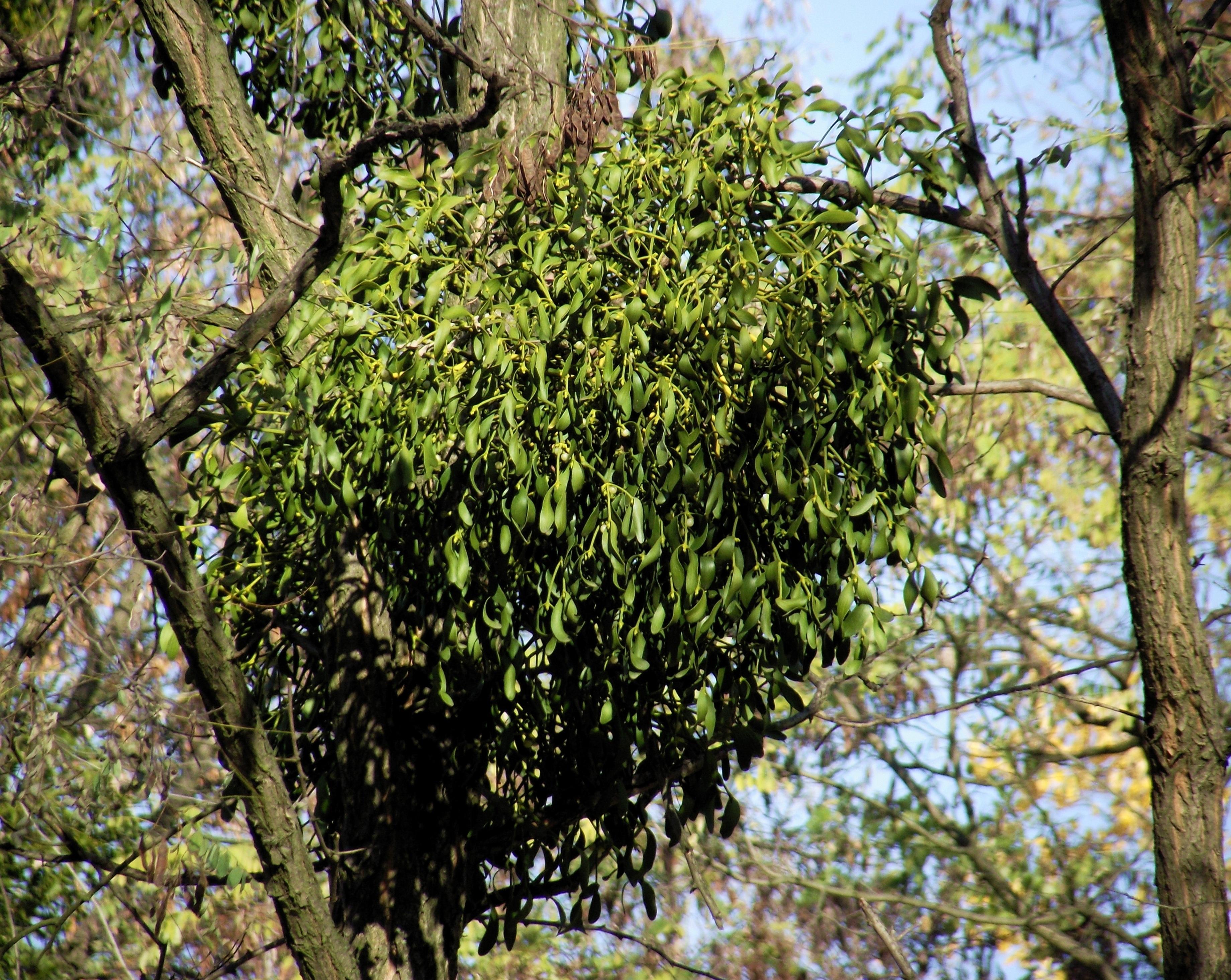 Images gratuites arbre la nature branche fleur for Arbres a feuilles persistantes