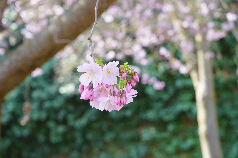 banco de imagens rvore natureza ramo plantar folha flor ptala primavera verde cor botnica colorida rosa flora flor de cerejeira flores