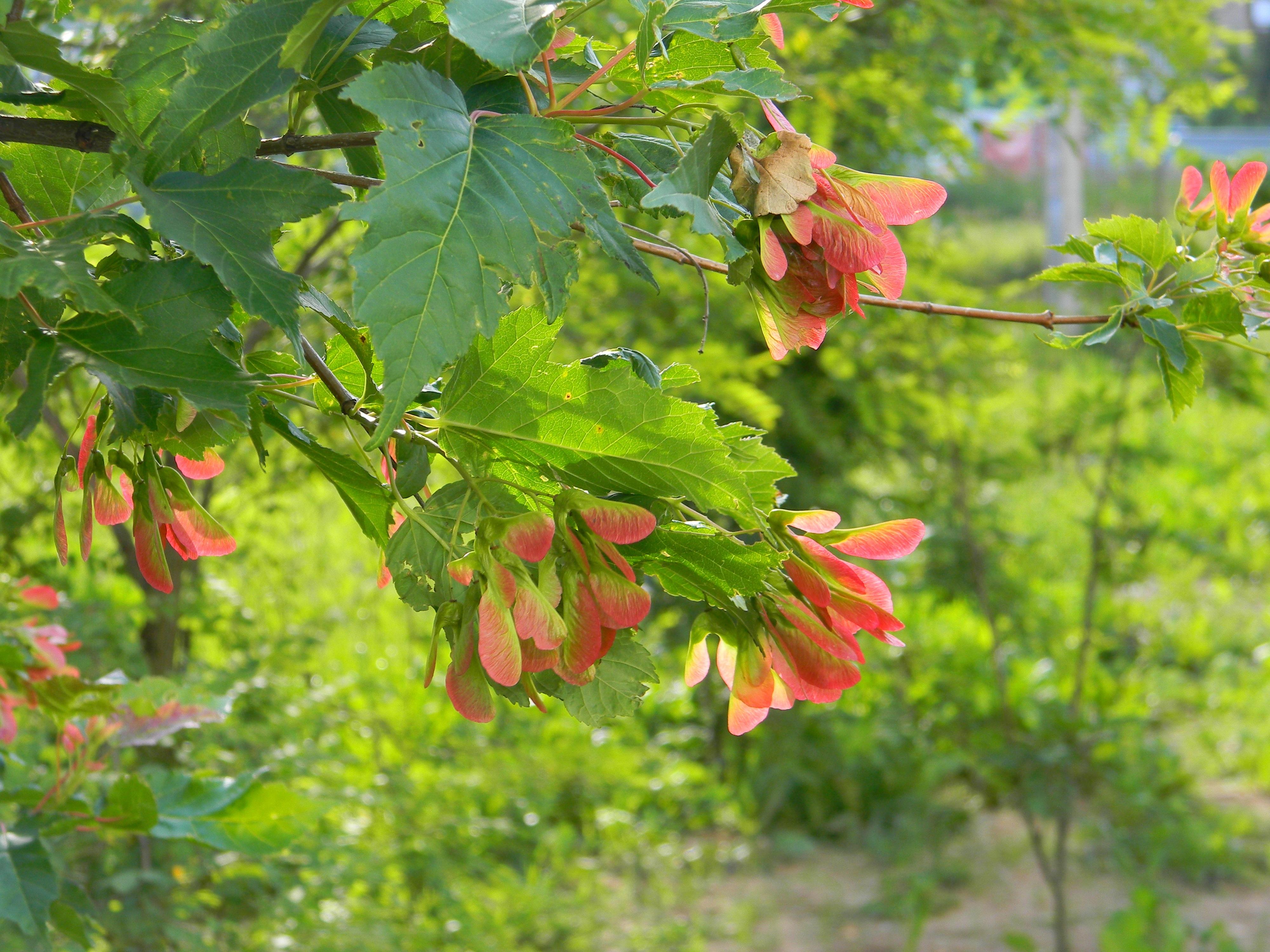 Free Images : nature, branch, blossom, leaf, flower, summer, produce ...
