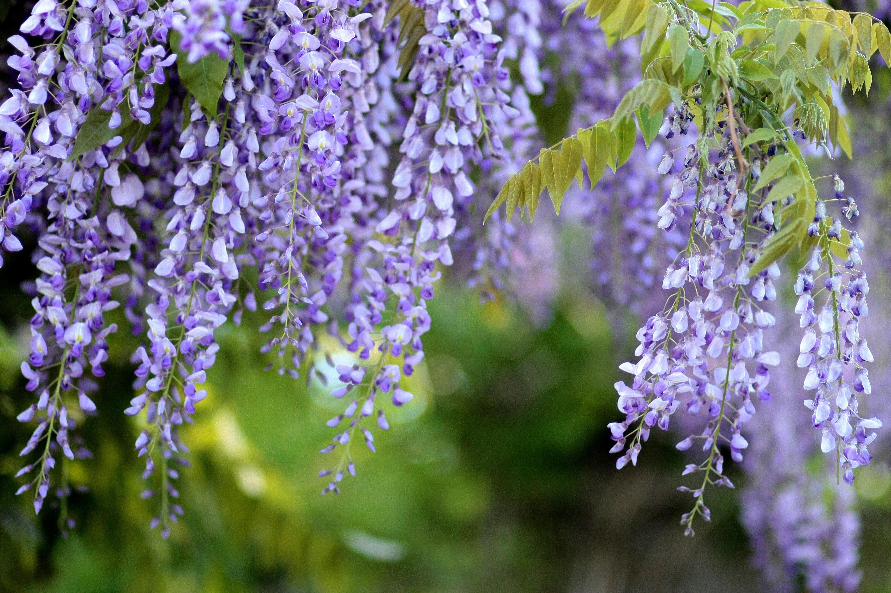 Fotos gratis rbol naturaleza rama prado primavera for Glicina planta