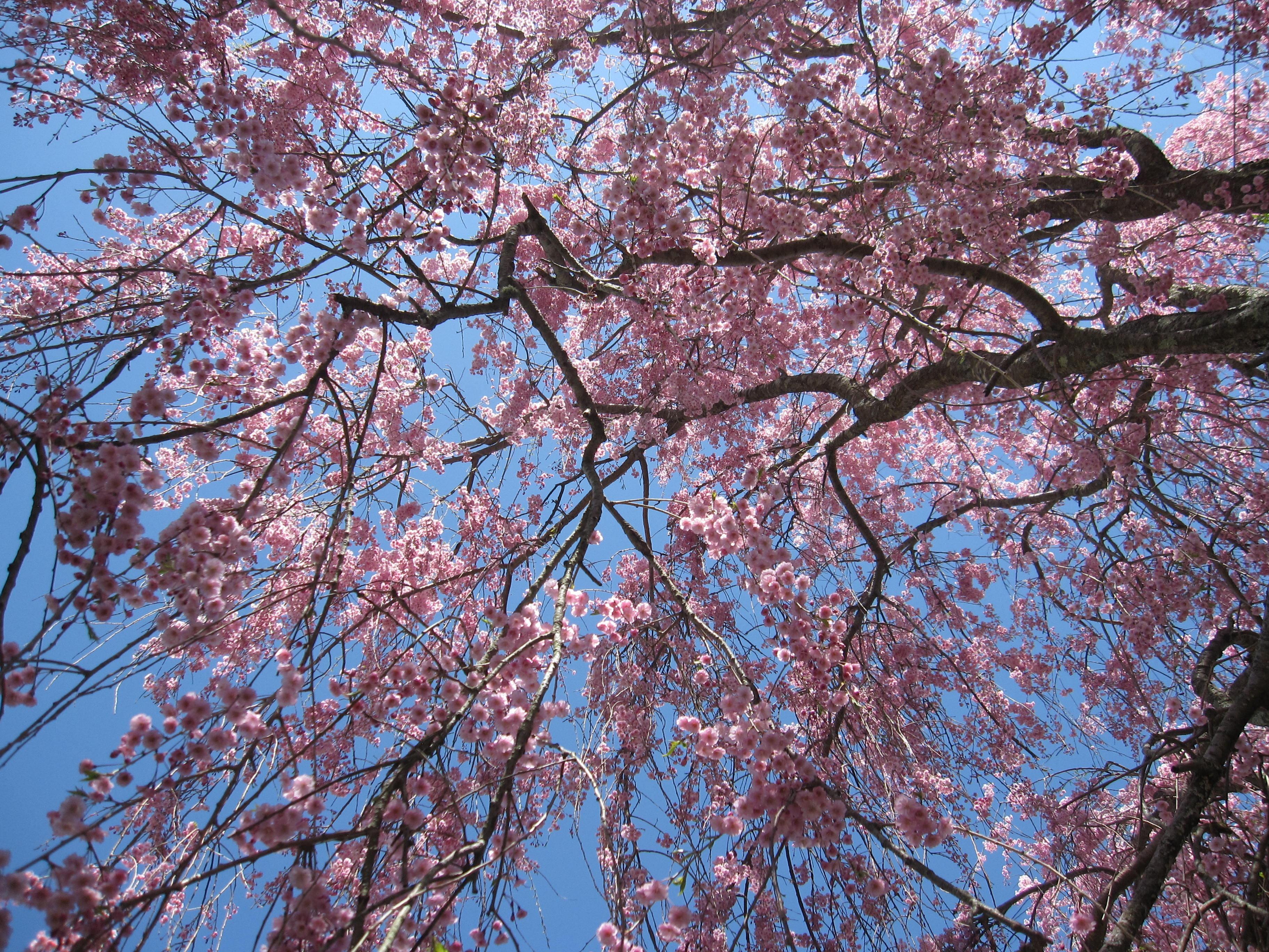 Free Images Nature Branch Plant Sky Flower Bloom Spring
