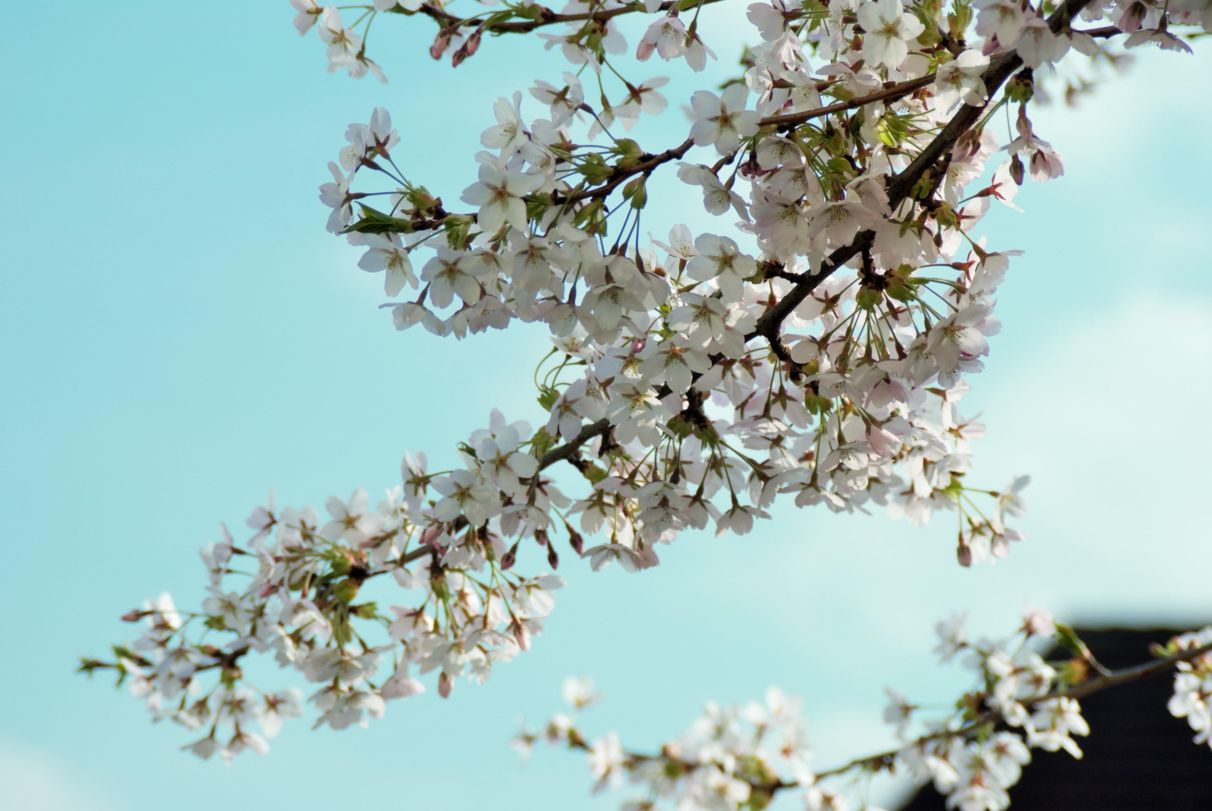 Gambar Pohon Alam Cabang Mekar Menanam Langit Daun Bunga Makanan Musim Semi Menghasilkan Botani Flora Bunga Sakura Ranting Mahkota Estetis Ceri Tanaman Berbunga 3872x2592 1221391 Galeri Foto Pxhere