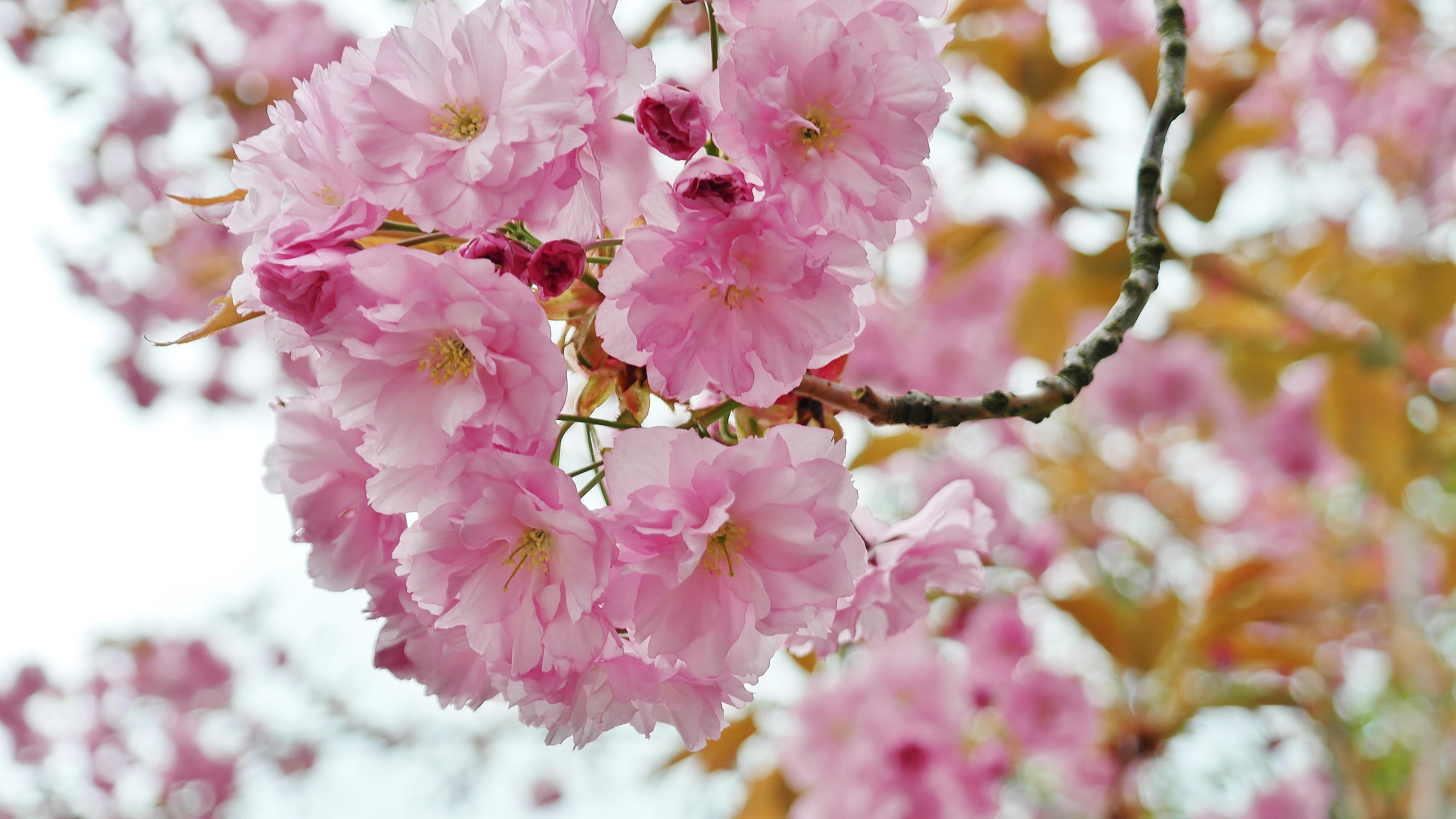 Free Images Nature Branch Sky Petal Rose Food Spring