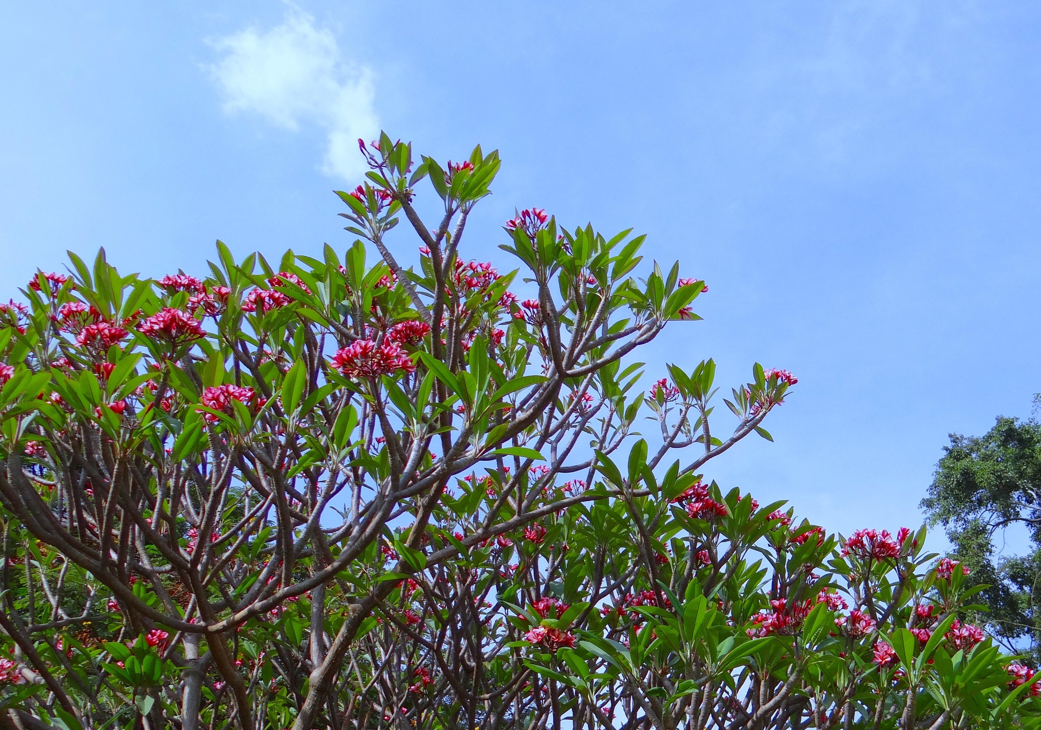 Fotos gratis rbol naturaleza rama cielo prado hoja for Arbol rojo jardin