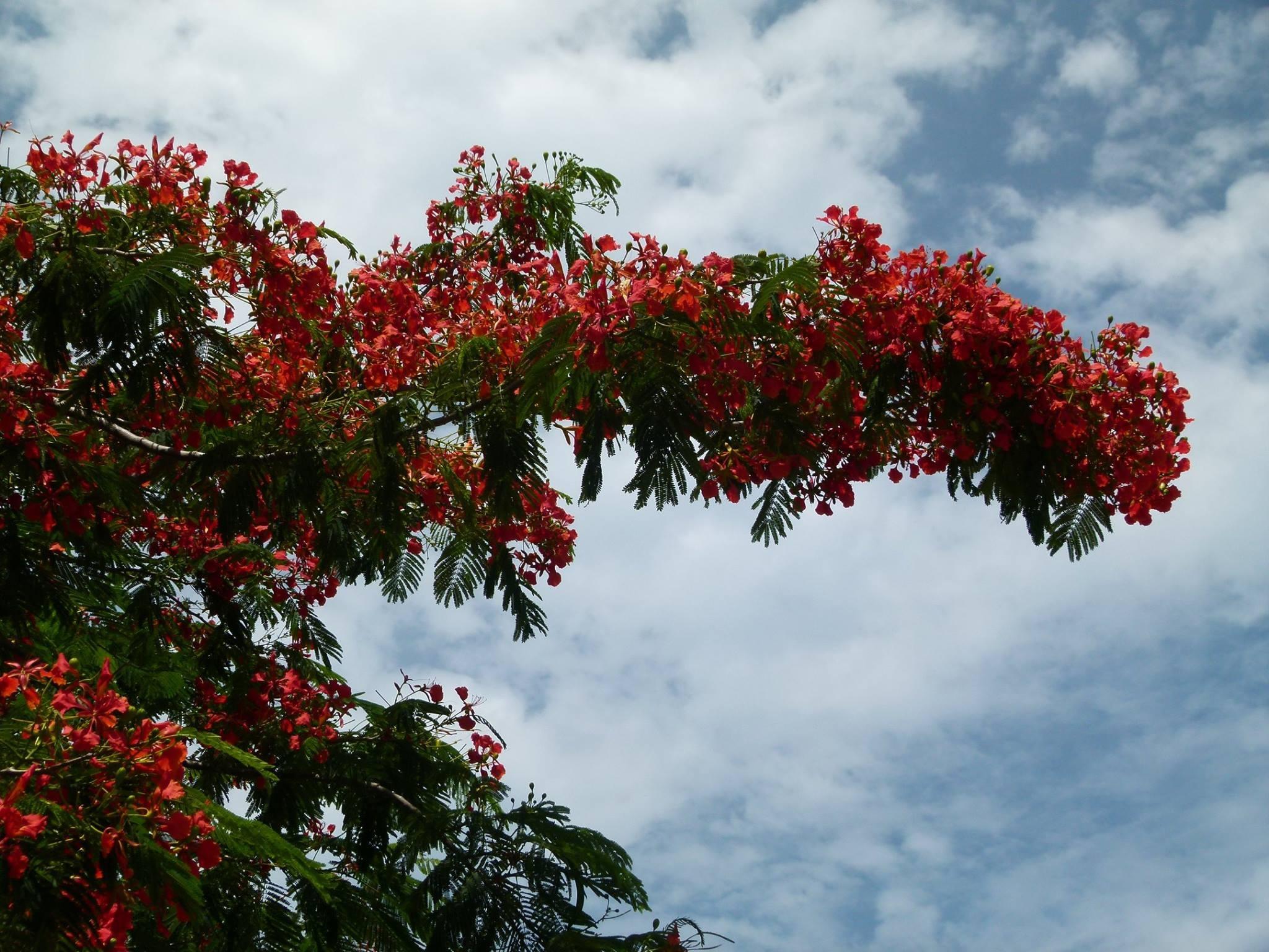 может дерево с большими красными цветами фото сделать топиарий