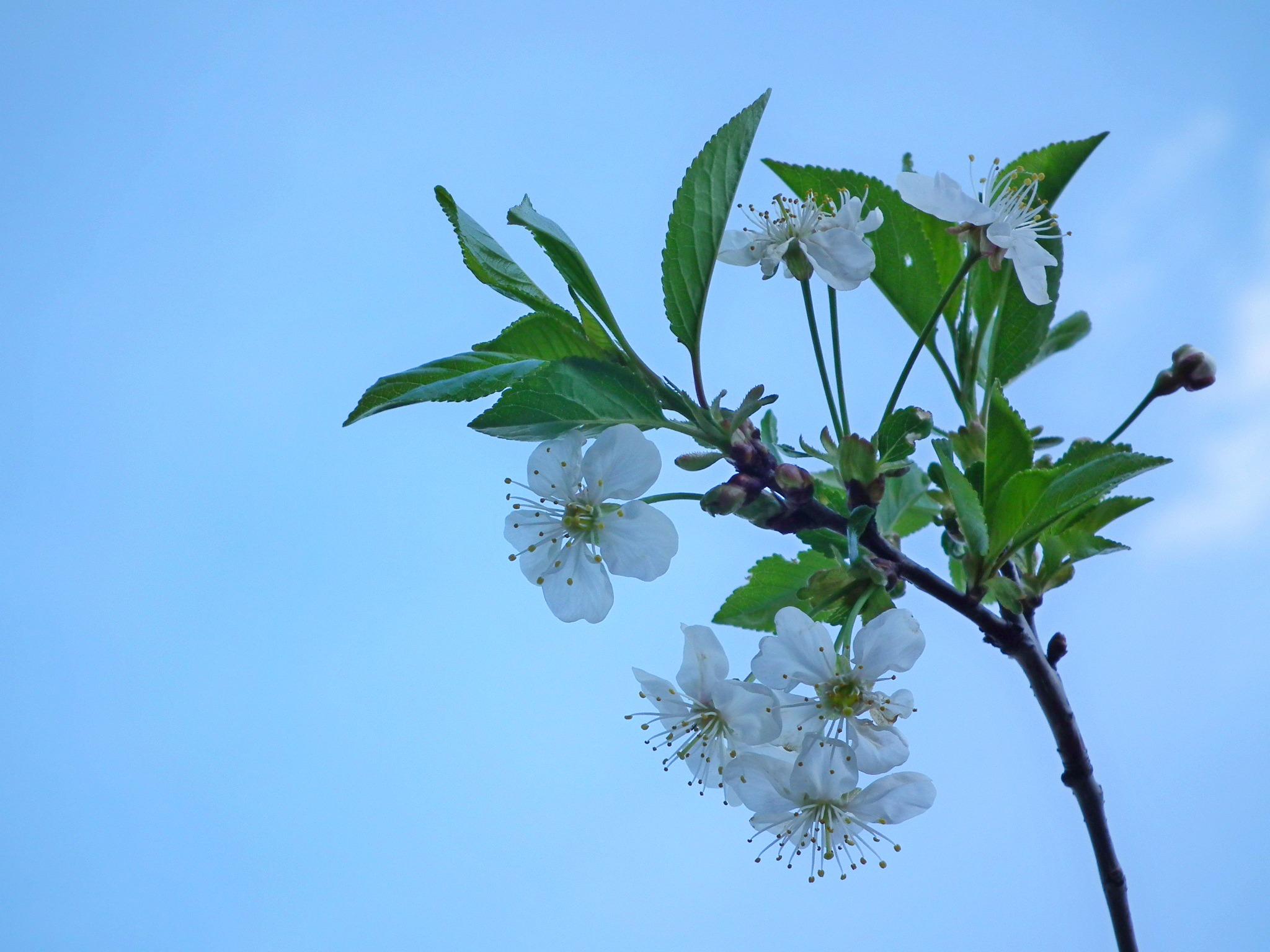 Images gratuites arbre la nature ciel blanc feuille for Jardin de fleurs blanches