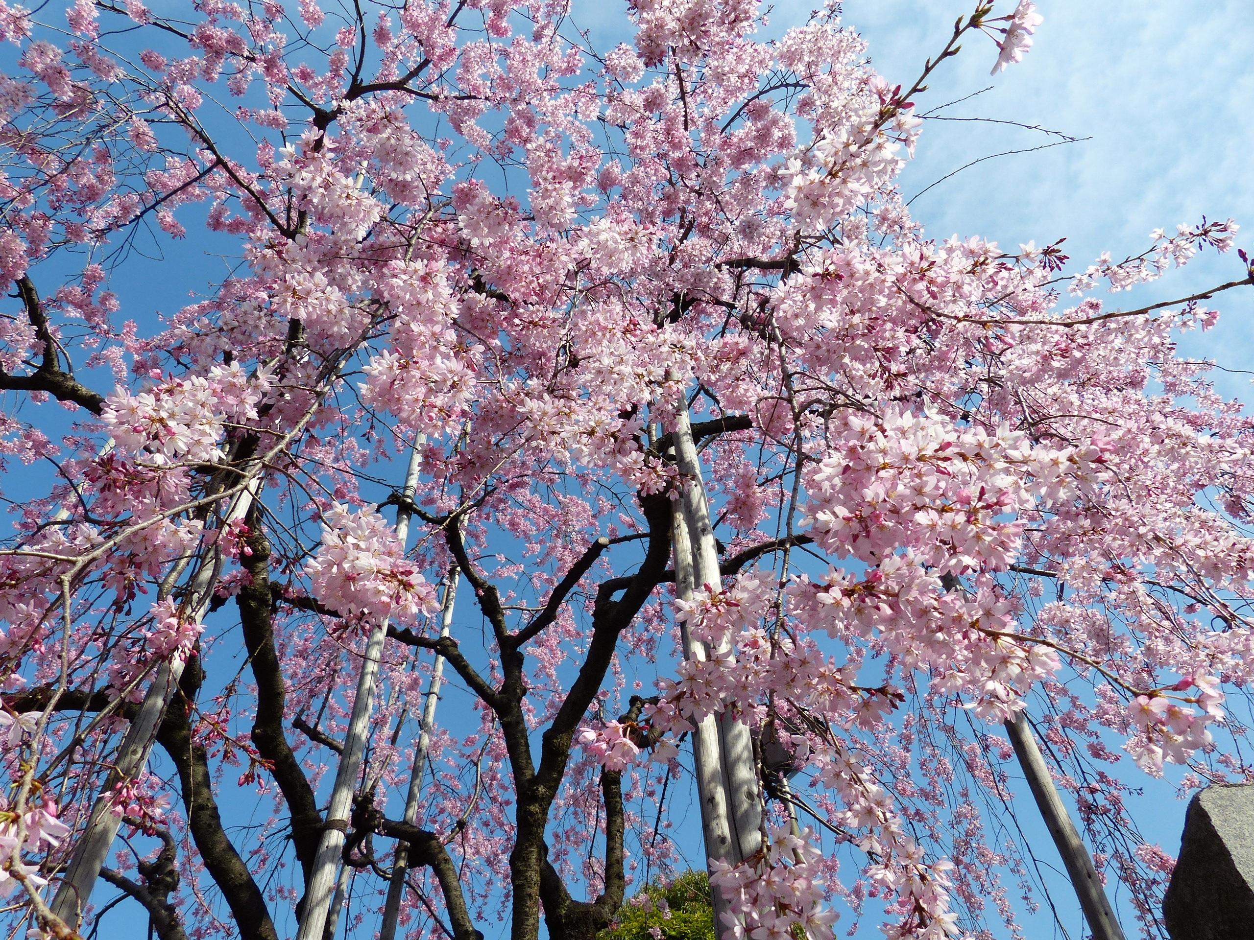 зрителей картинки сакуры в цвету полностью объясняет как